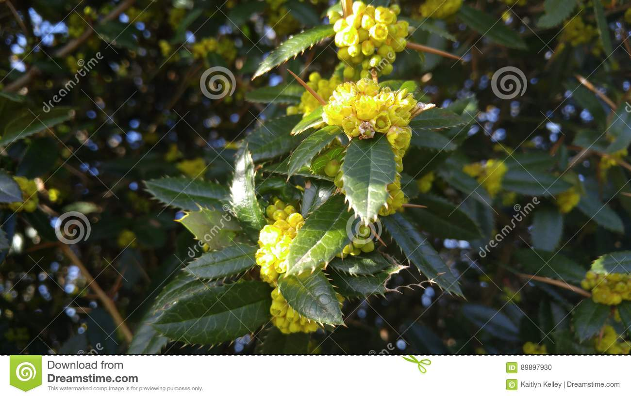Yellow Buds On Spiky Leaves And Barbs Stock Photo Image Of Flowers