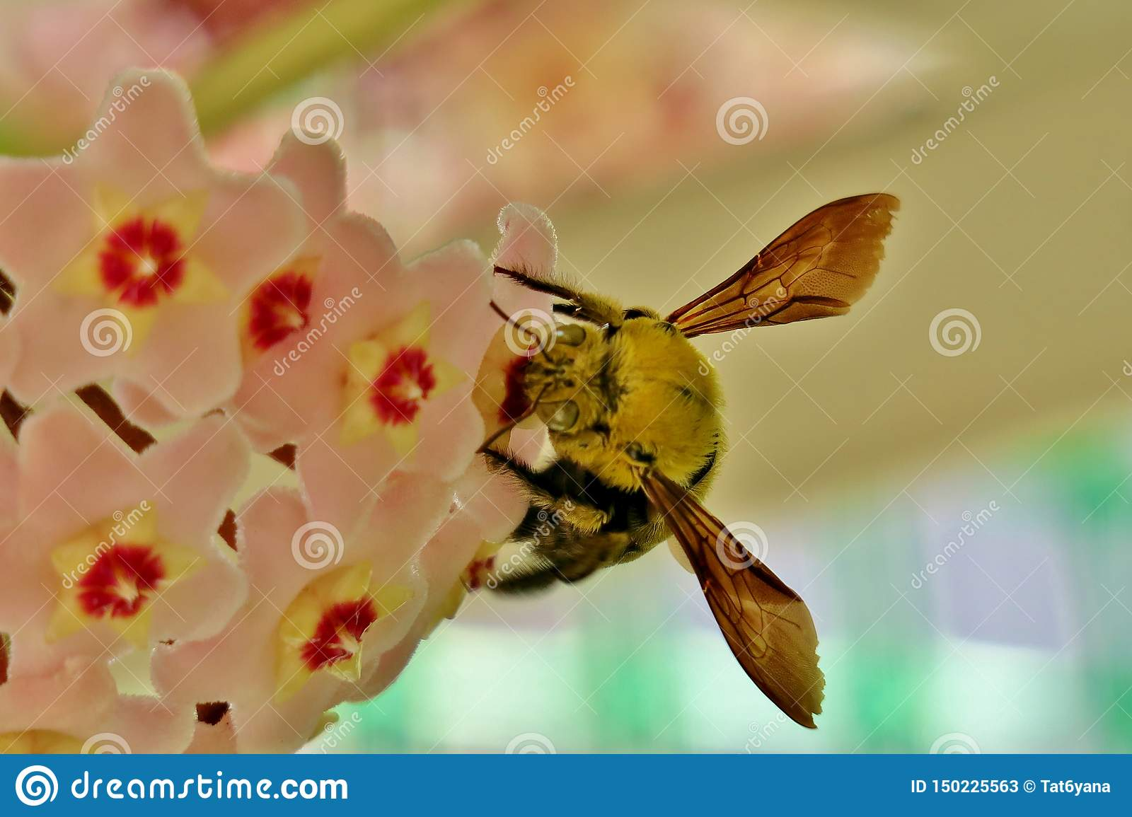 Yellow bumblebee collects pollen from small pink flowers