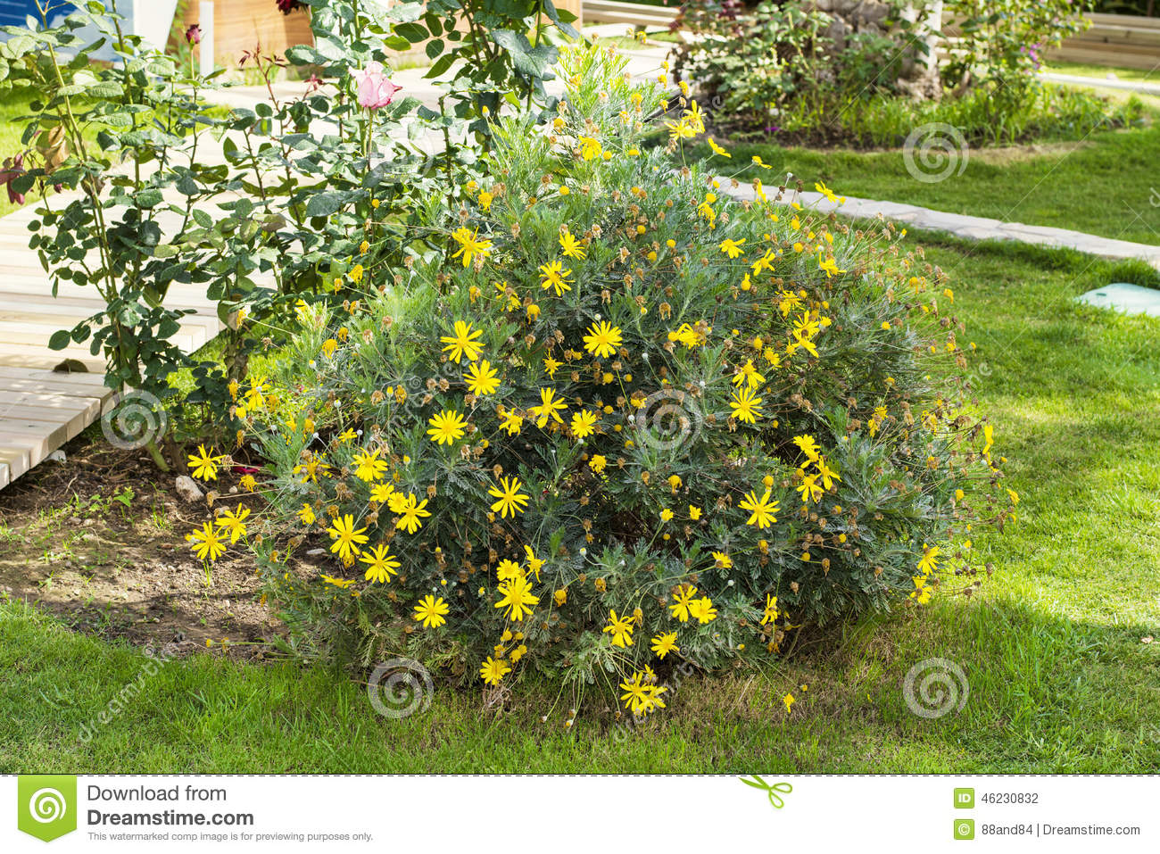 Yellow Bush In A Green Garden Stock Photo Image 46230832