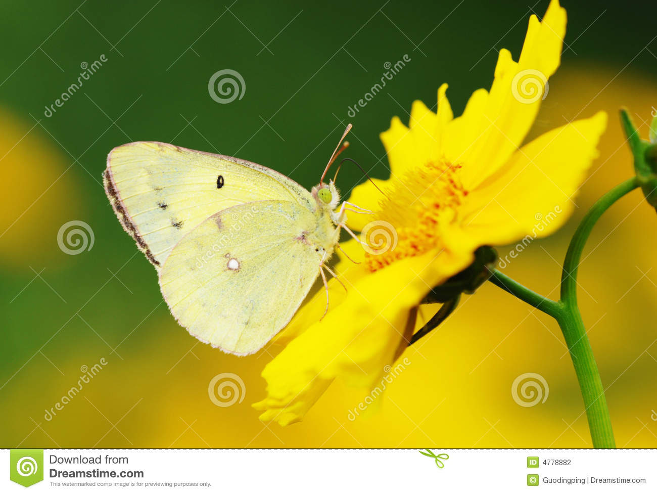 Download Yellow butterfly stock photo. Image of butterfly, petal - 4778882