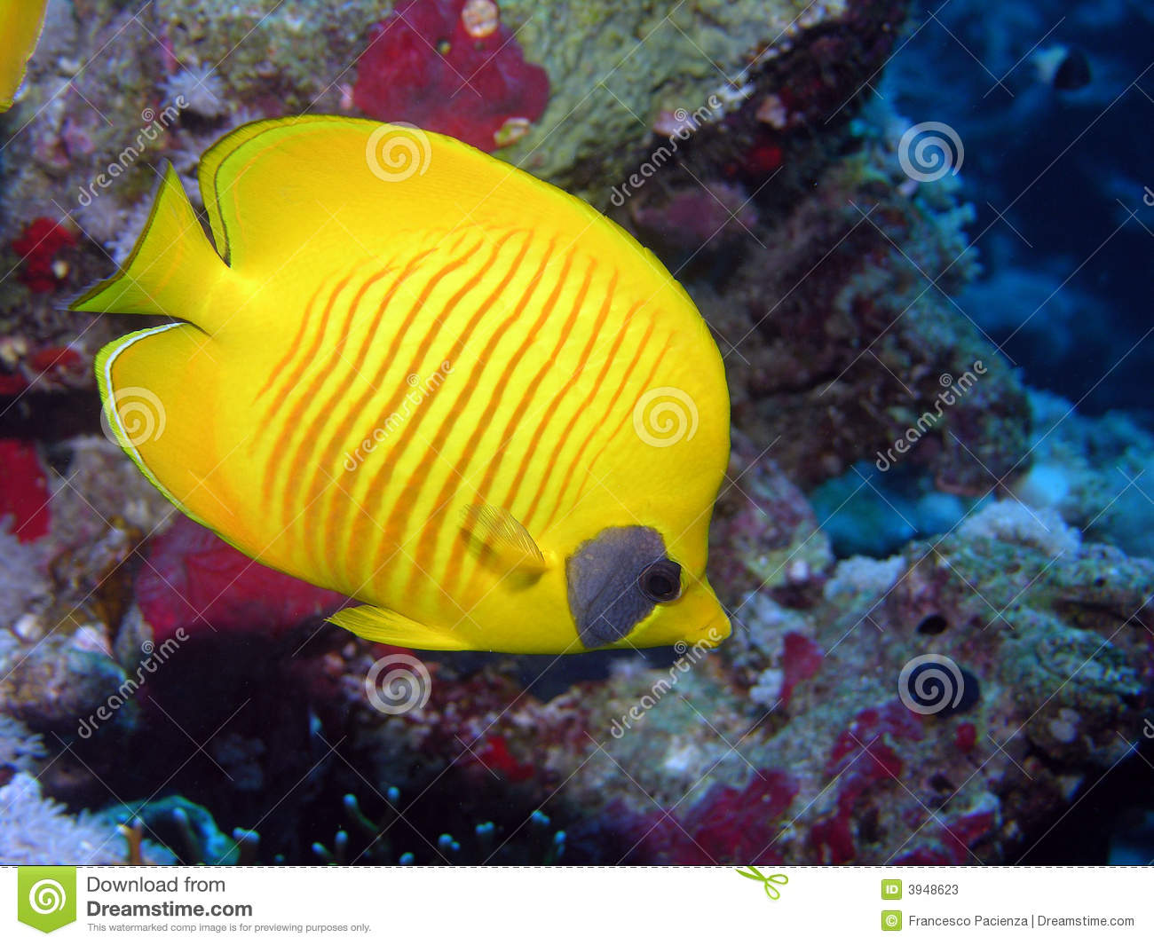 Yellow Butterfly Fish Stock Photos Image 3948623