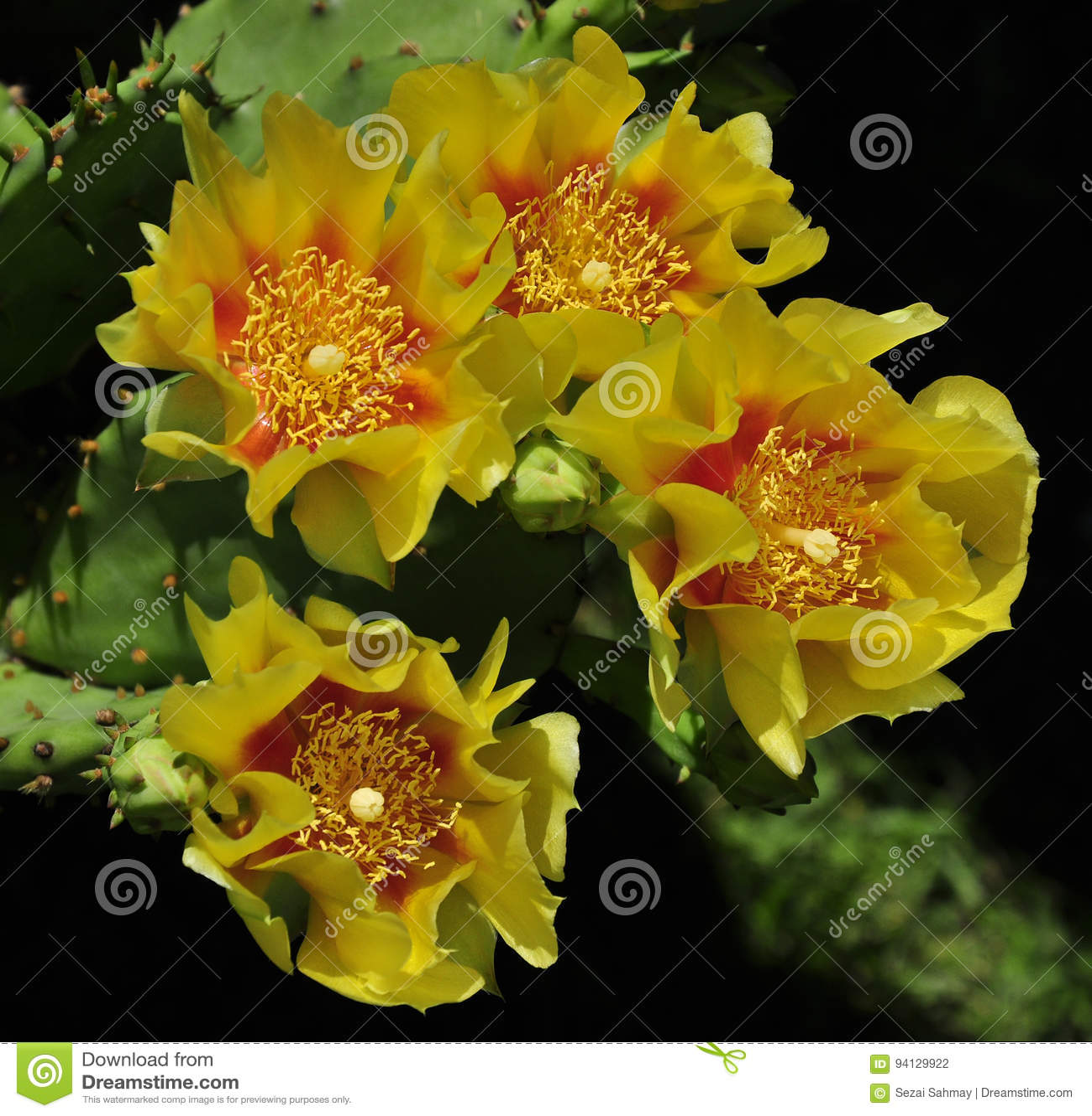 Yellow cactus flower stock photo. Image of desert, inferior - 94129922