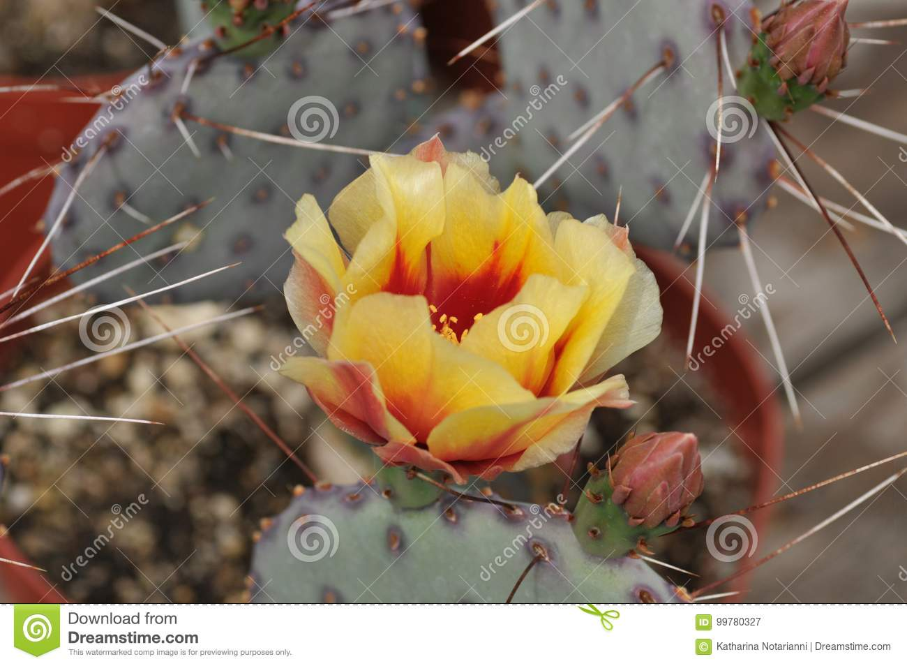 Yellow Cactus Flower And Flower Buds Stock Image Image Of Flowers