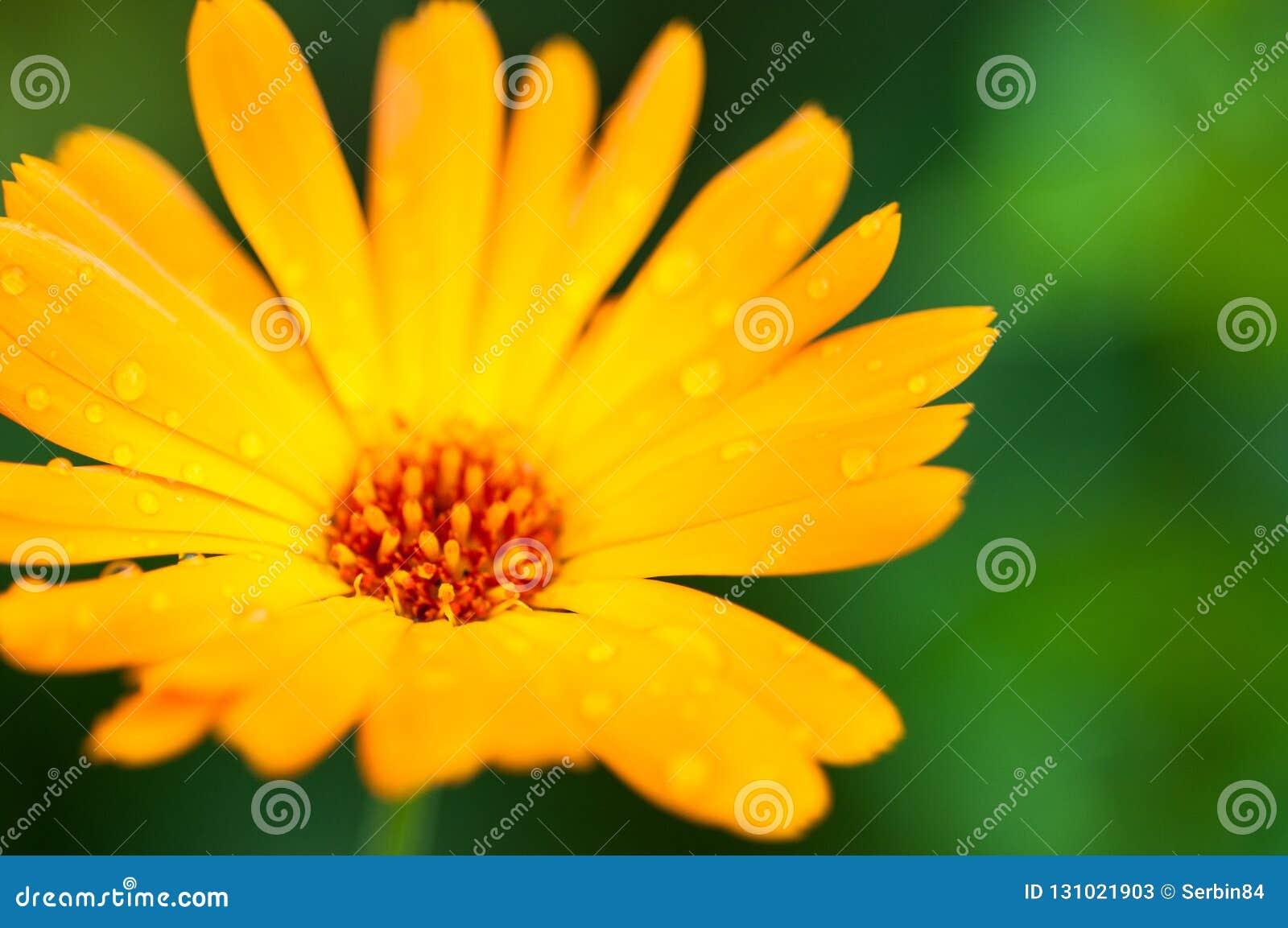 Yellow calendula flower with drops after rain. Macro photography.