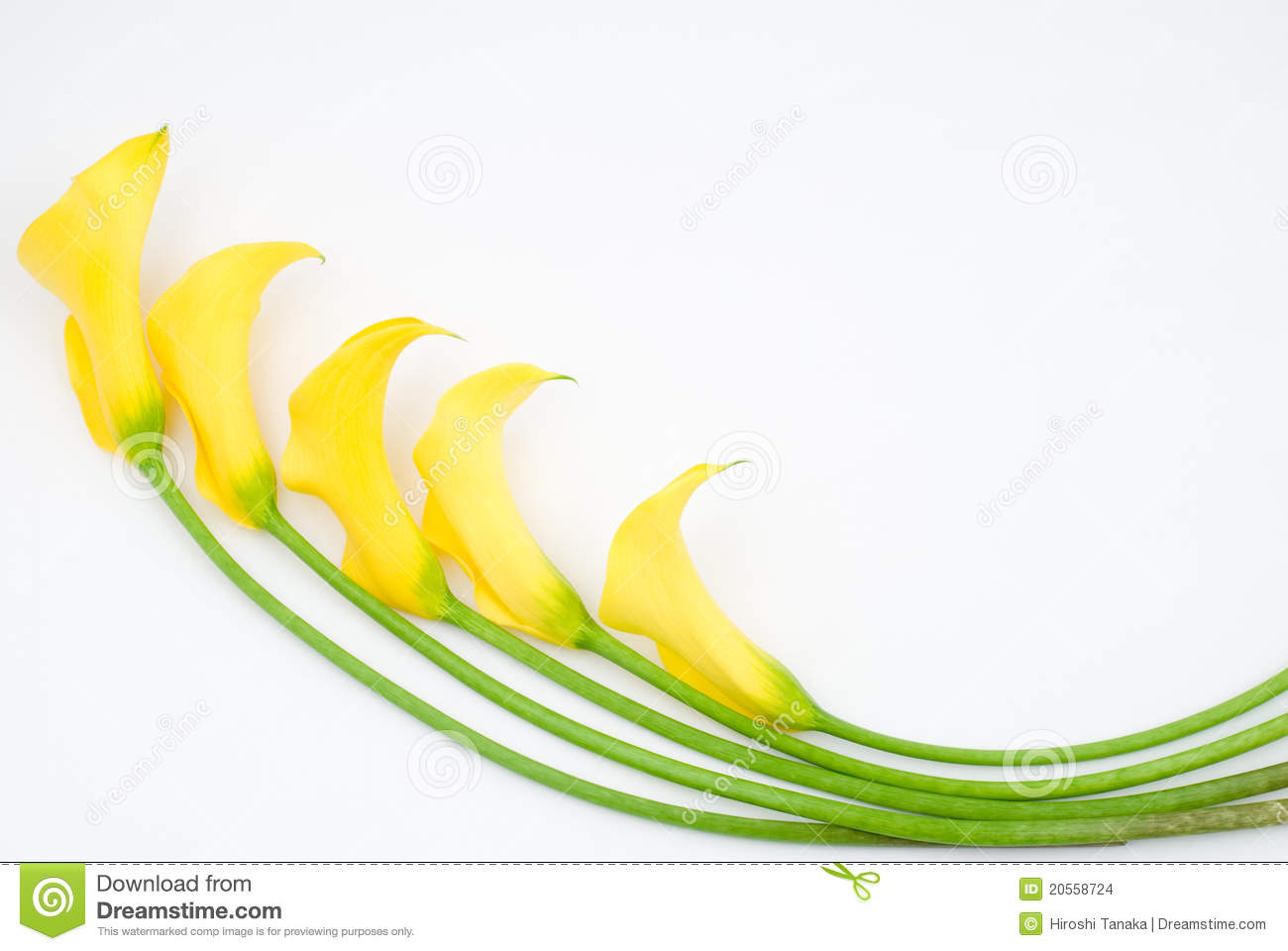 Lily of the nile calla lily flower stock photo image 40928437 yellow calla lily stock images dhlflorist Images