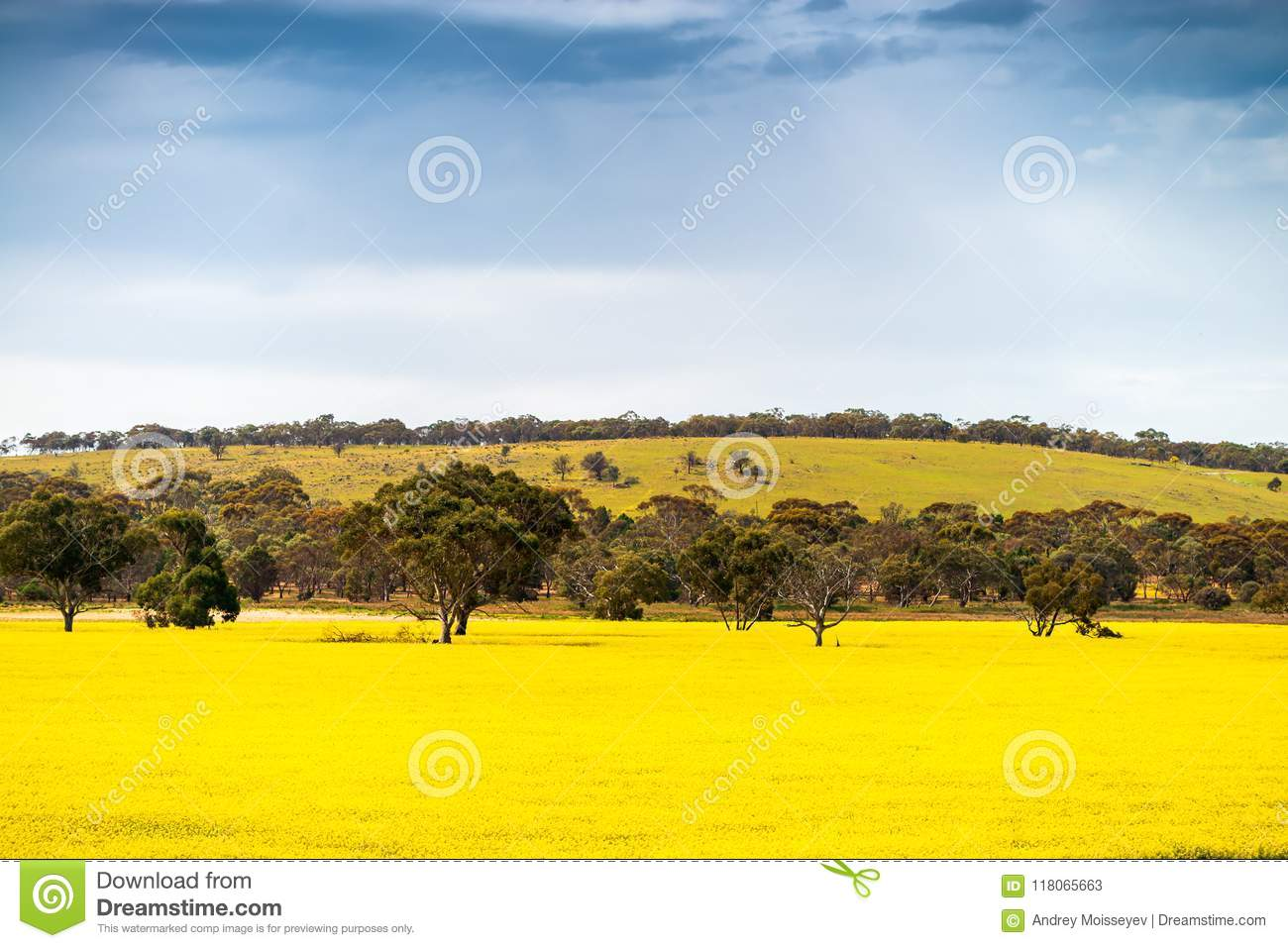 yellow canola fields south australia stock image image of