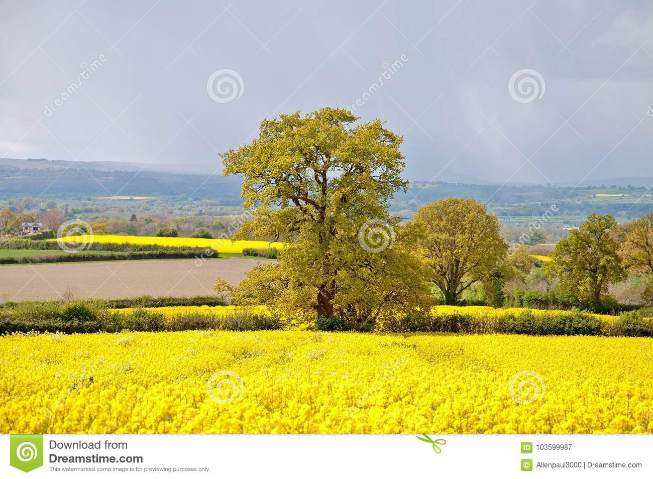 Yellow Canola Flowers In A Meadow In The English Summertime Stock
