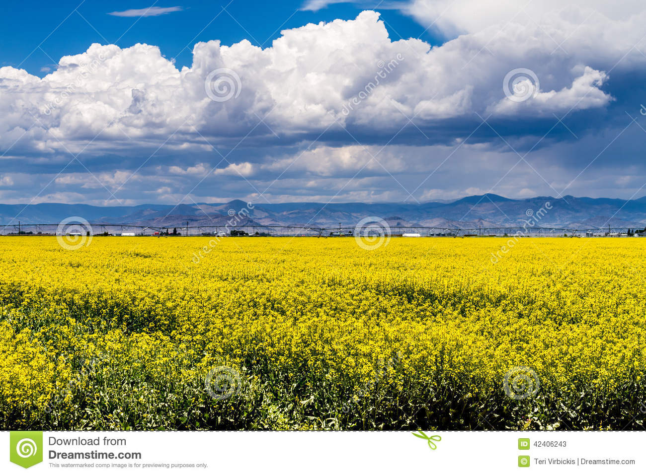 Yellow canola rapeseed fields in bloom stock image image of crops download yellow canola rapeseed fields in bloom stock image image of crops flower mightylinksfo