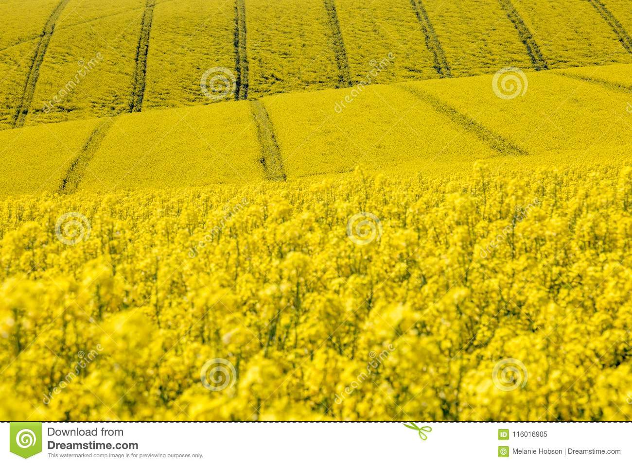 Yellow Canolarapeseed Flowers Stock Image Image Of Crops
