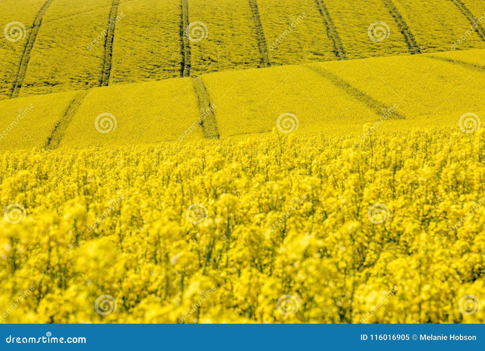 Yellow canolarapeseed flowers stock image image of crops yellow canolarapeseed flowers mightylinksfo
