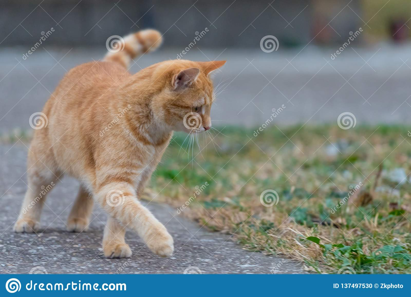 Yellow cat walking throw the yard next to grass