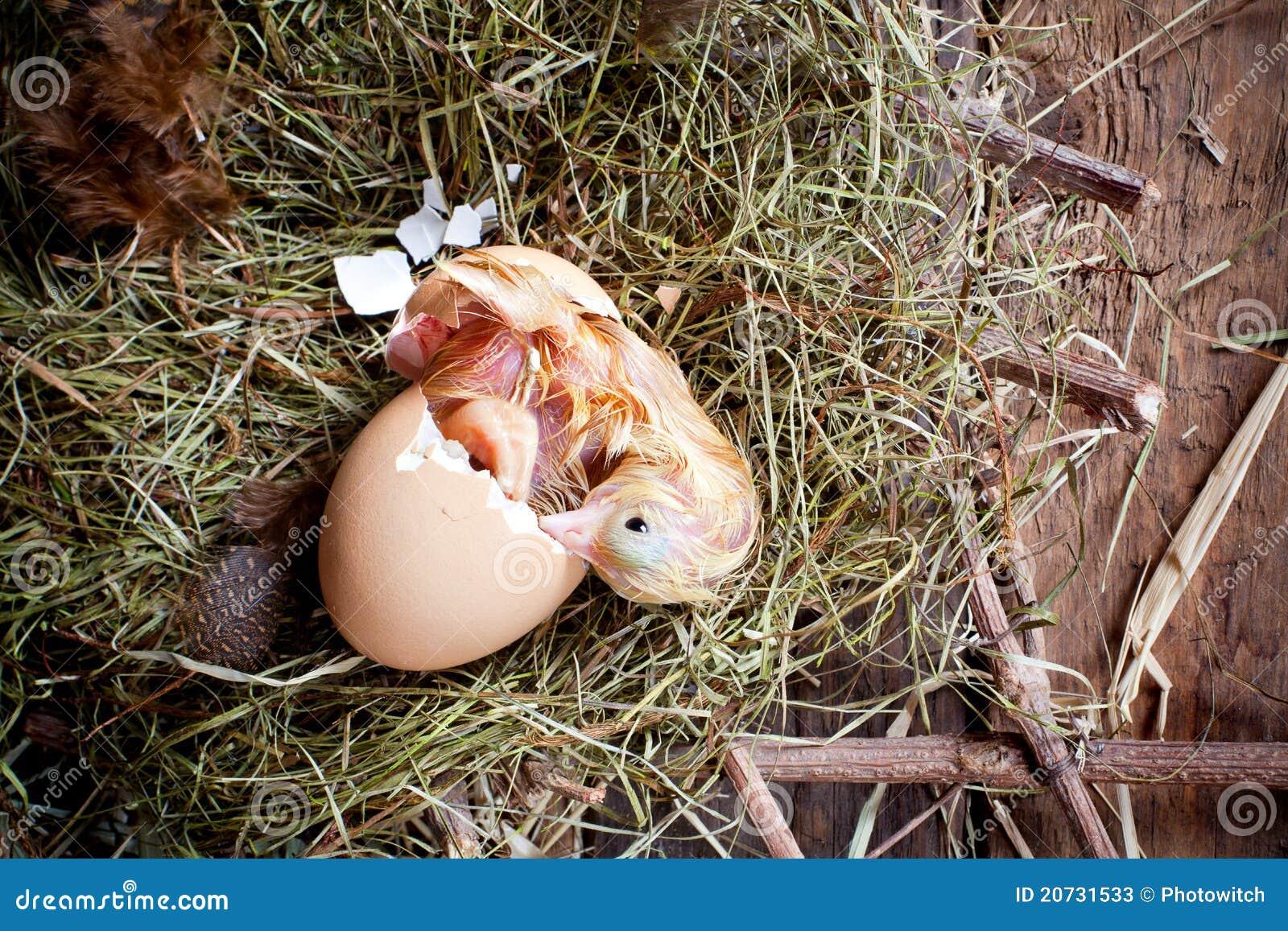 yellow chick birth stock photos