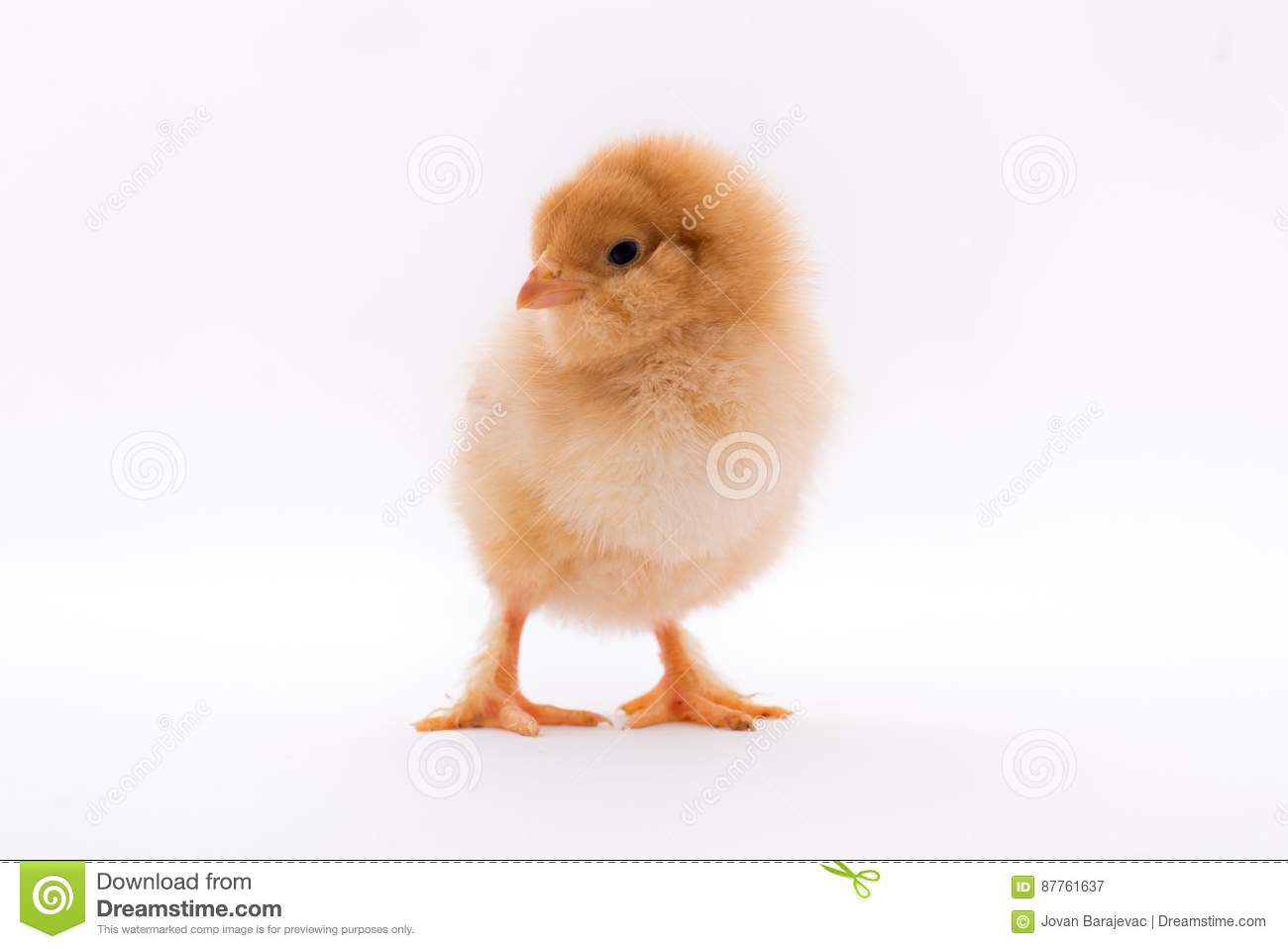 Yellow Chicken Stock Image Image Of Baby Cute Born 87761637
