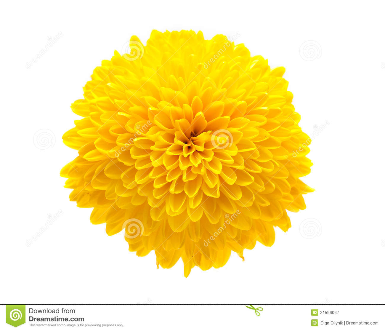 Yellow Chrysanthemum Royalty Free Stock Photography - Image: 21596067