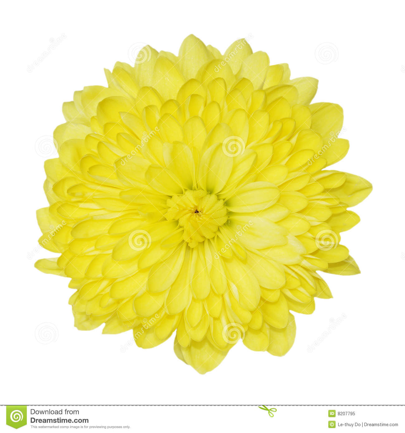 Yellow Chrysanthemum Royalty Free Stock Photo - Image: 8207795 Yellow Chrysanthemum Flower
