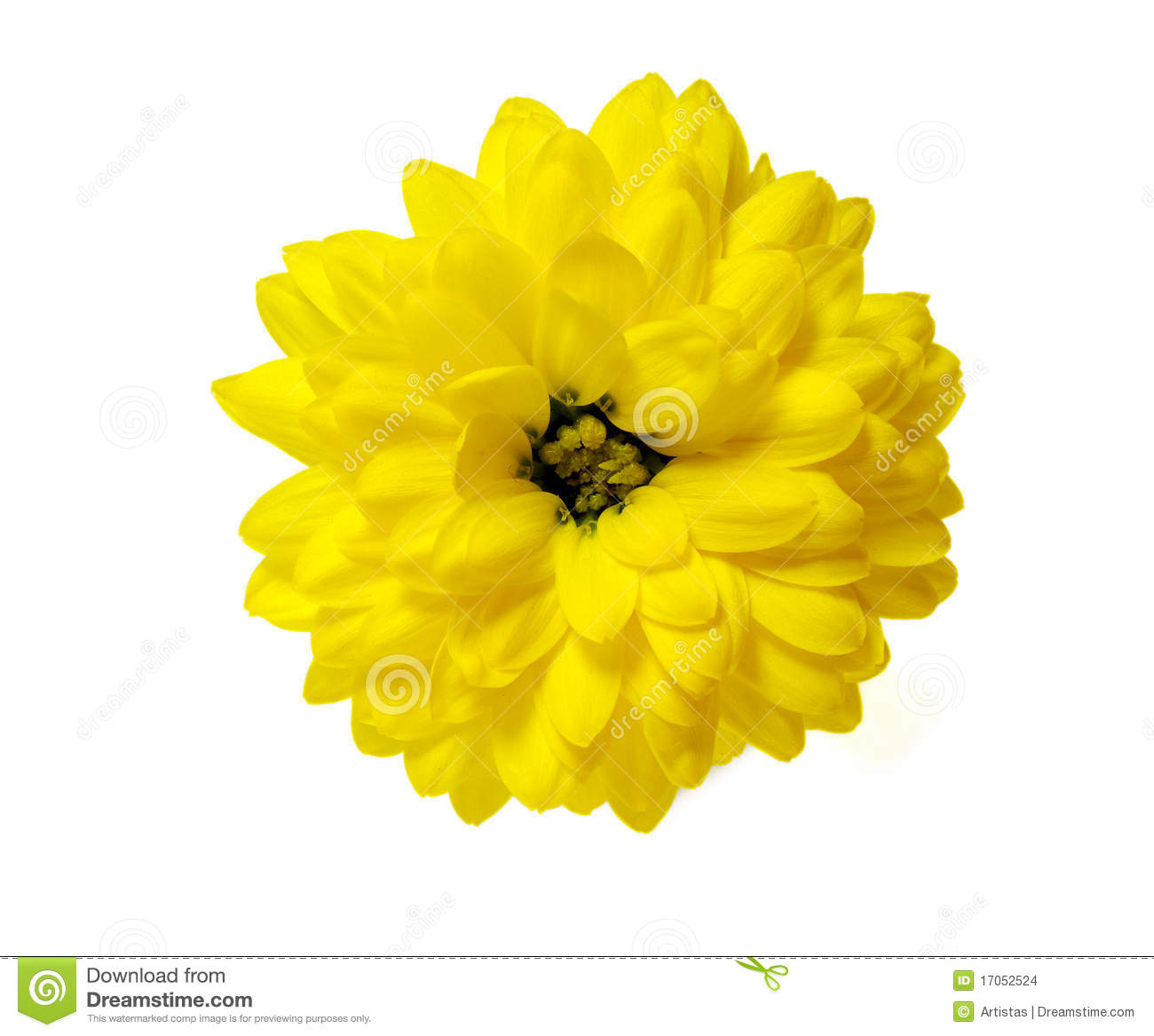 Yellow Chrysanthemum Flower Isolated Stock Image Image Of Close