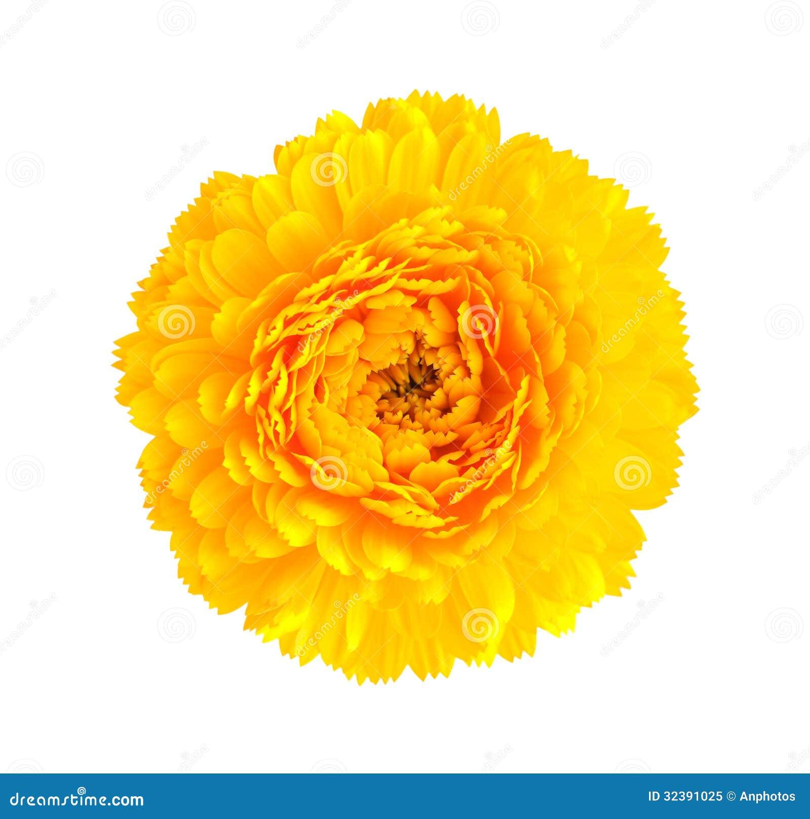 Yellow Chrysanthemum Flower Stock Image Image Of White Flower