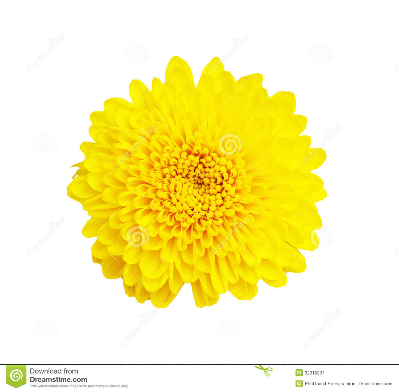 Yellow Chrysanthemum Flower On White Background , With Royalty Free ...