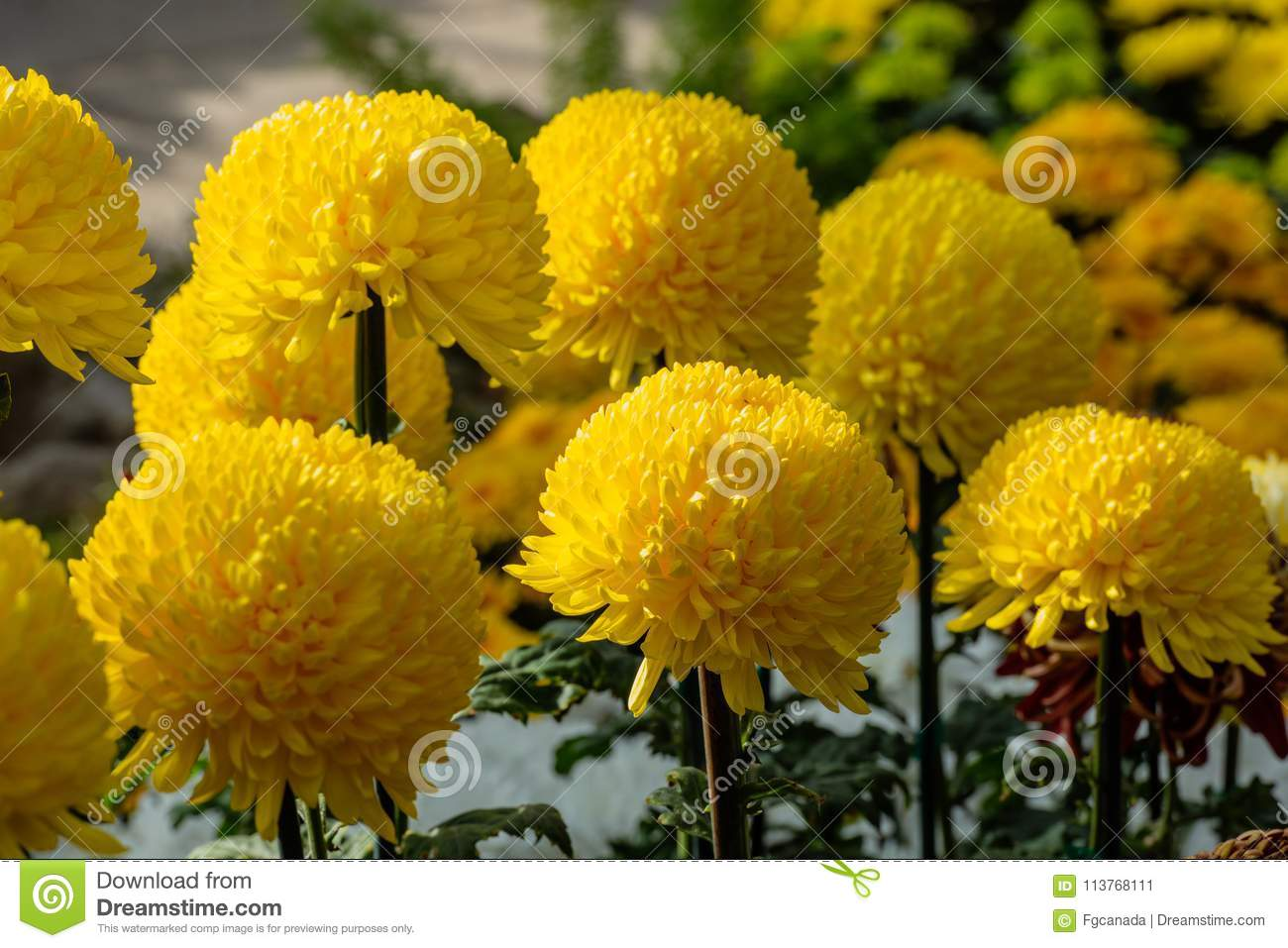 Yellow Chrysanthemum Flowers In A Garden Stock Image Image Of