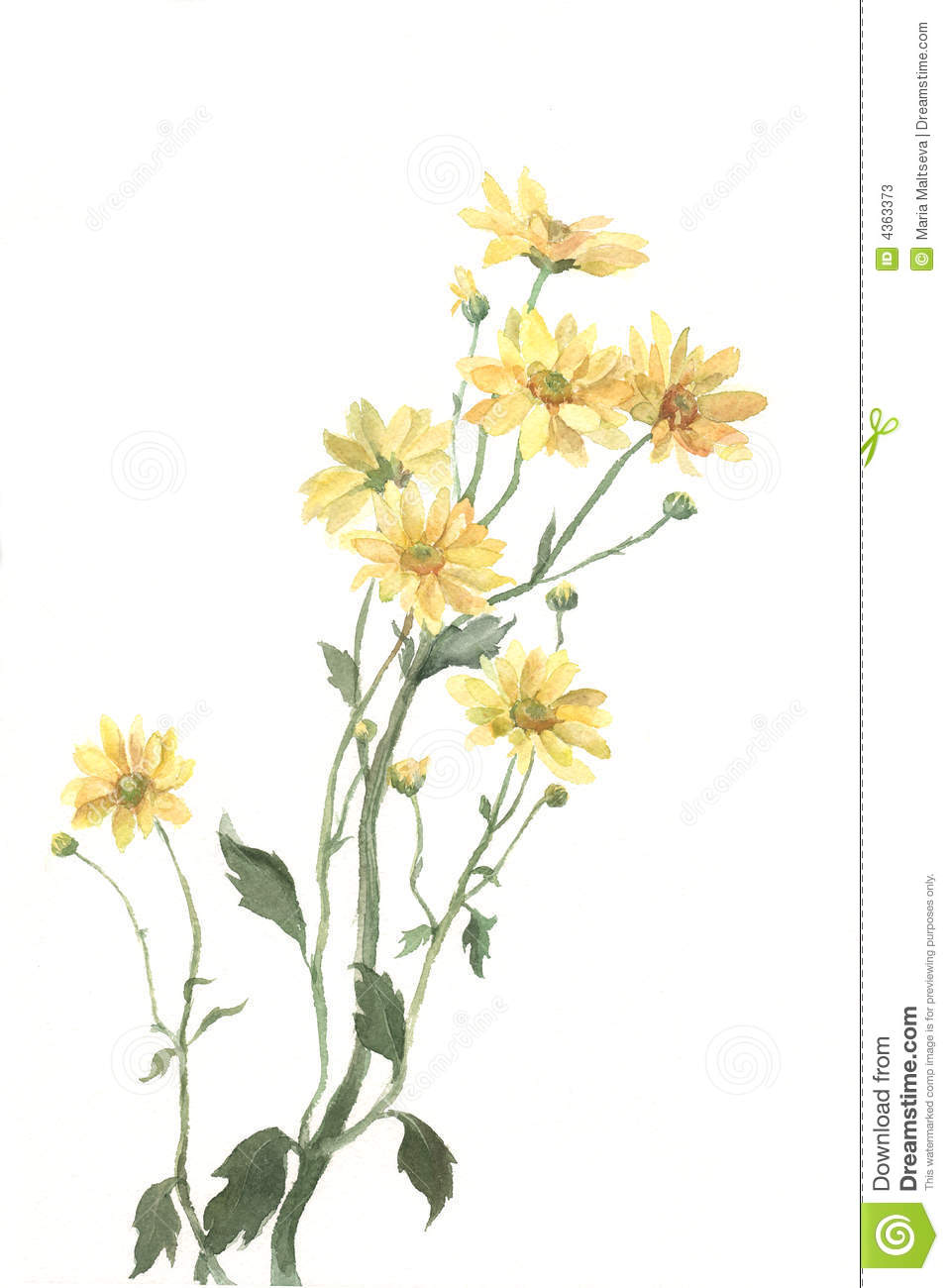 Yellow chrysanthemum flowers watercolor painting stock illustration yellow chrysanthemum flowers watercolor painting mightylinksfo