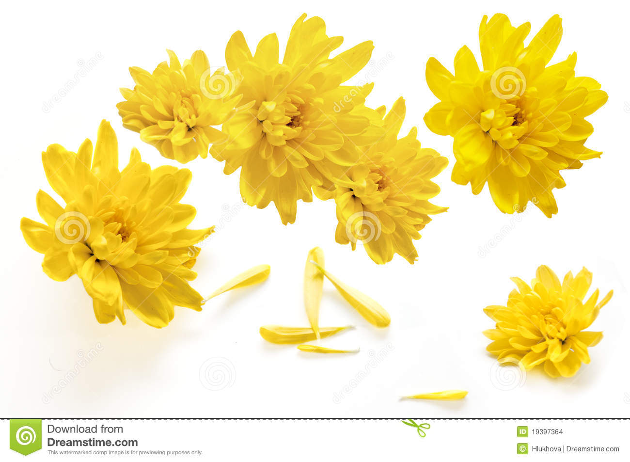 Yellow chrysanthemum flowers on a white background stock photo yellow chrysanthemum flowers on a white background mightylinksfo