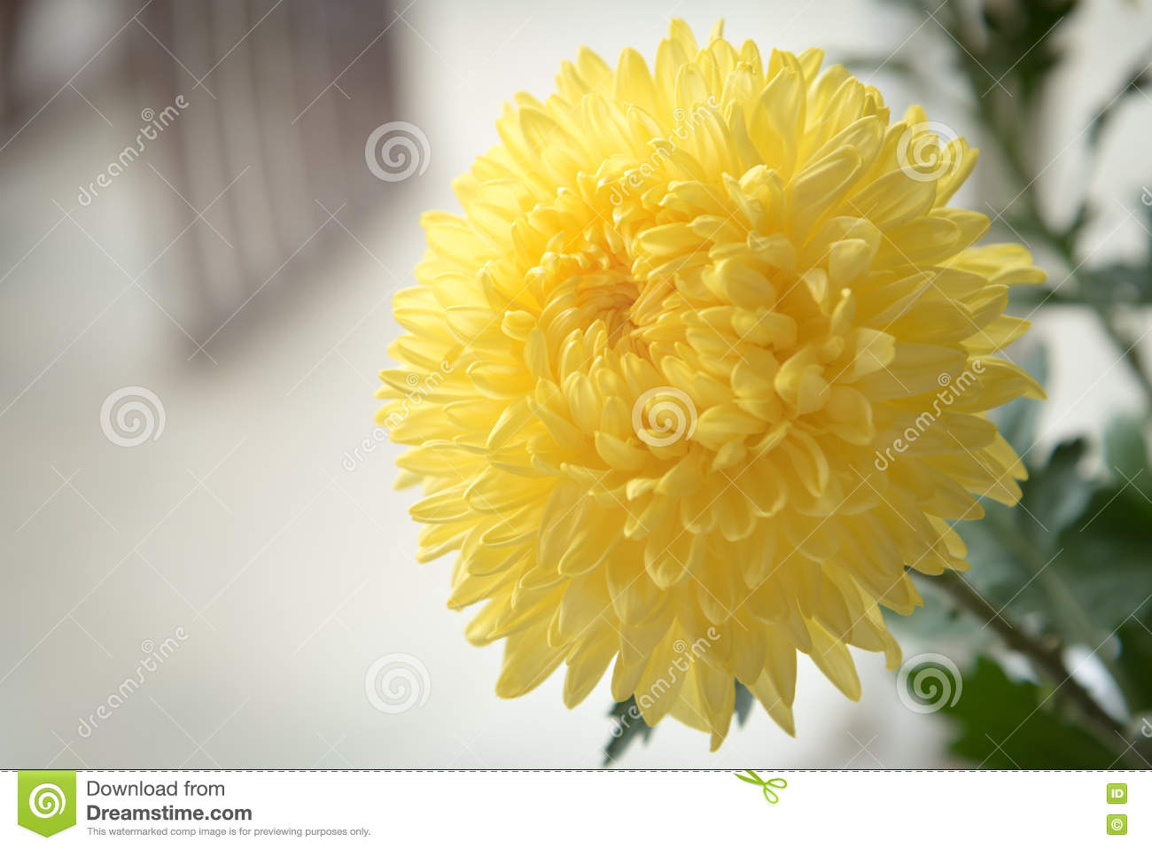 Yellow chrysanthemum golden daisy flower stock image image of yellow chrysanthemum golden daisy flower izmirmasajfo