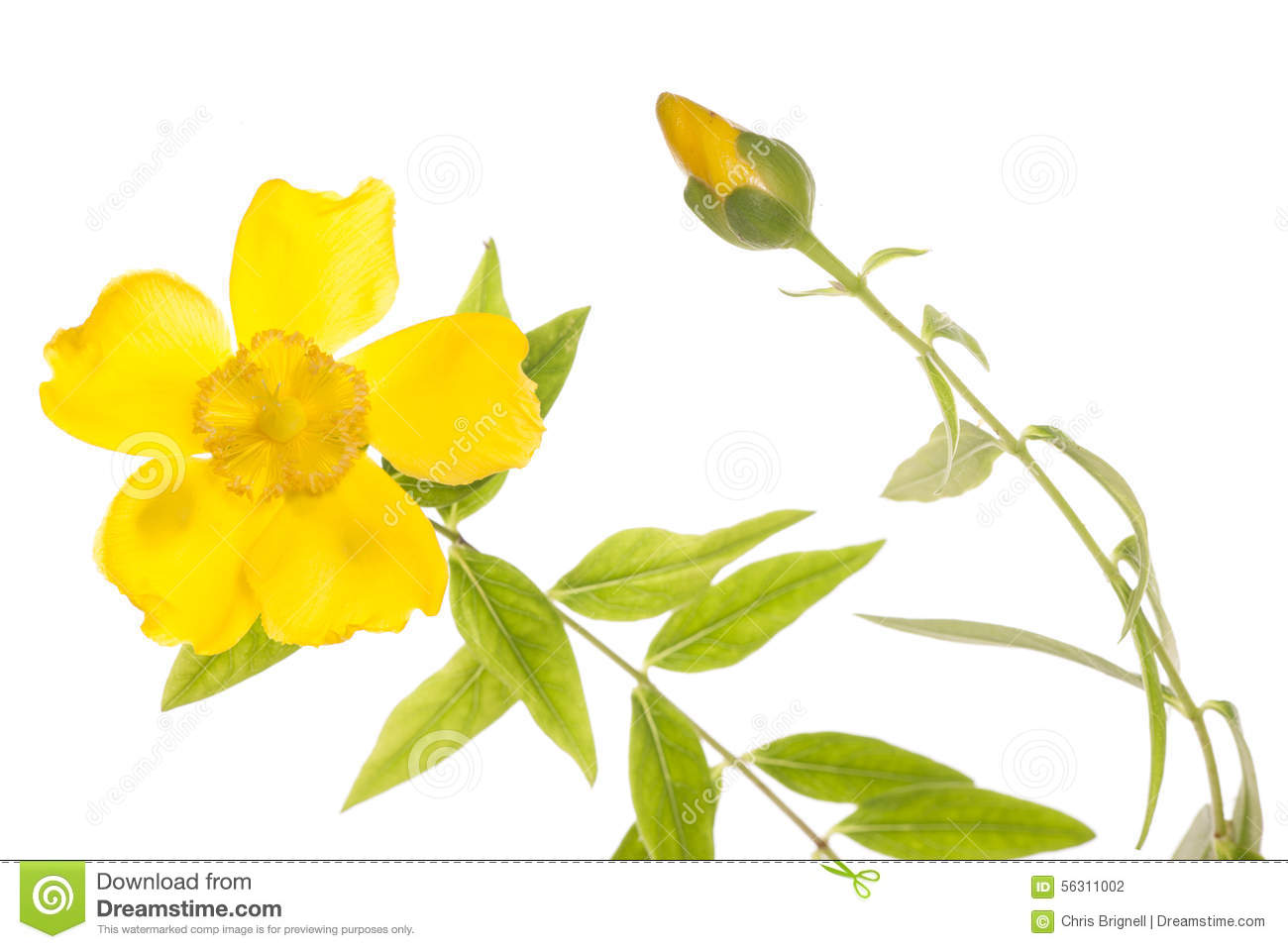 Yellow Clematis Flower Cutout Stock Photo - Image of plant