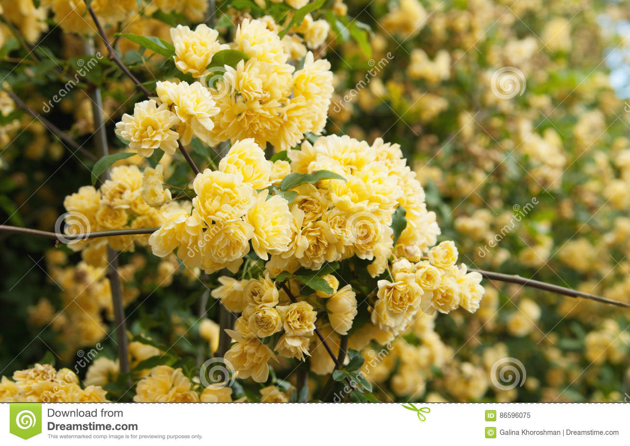 Rampicante Fiori Gialli.Yellow Climbing Rose Flowers Stock Image Image Of Close Winder