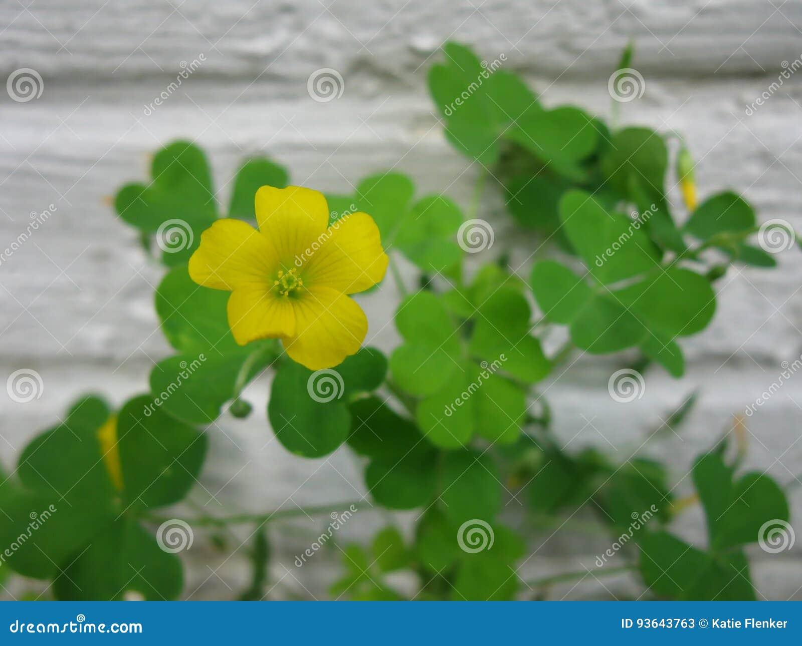 Yellow Clover Flower Stock Image Image Of Leaves Garden 93643763