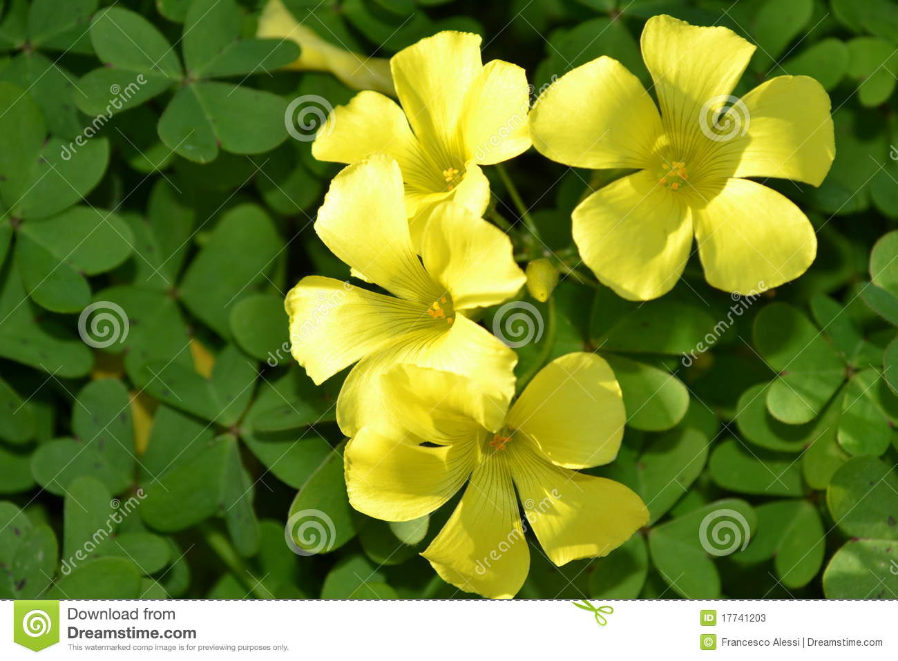 Yellow Clover Flowers Stock Image Image Of Horizontal 17741203