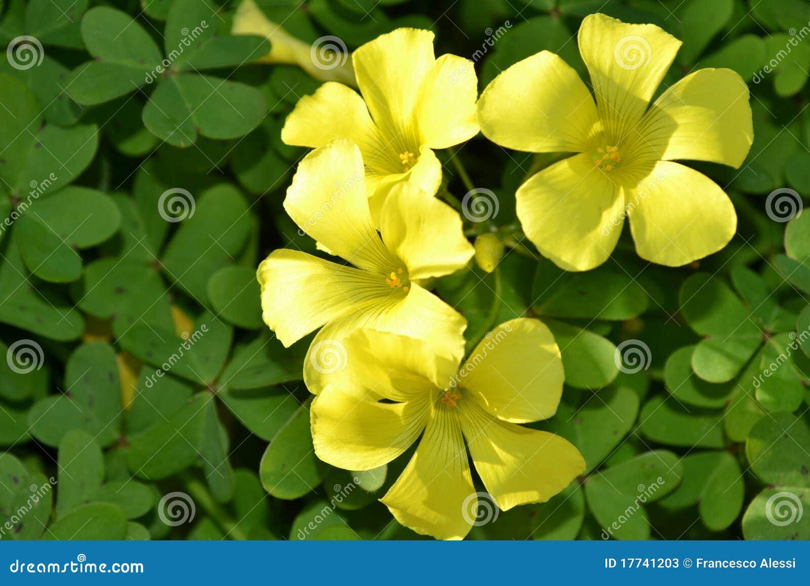 Yellow Clover Flowers Stock Photos - Image: 17741203