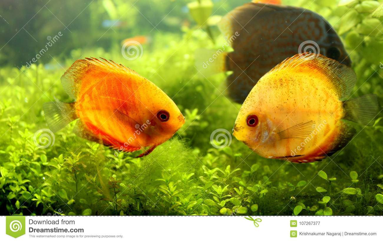 Yellow Color Discus Fish Pair In Aquarium Stock Image - Image of ...