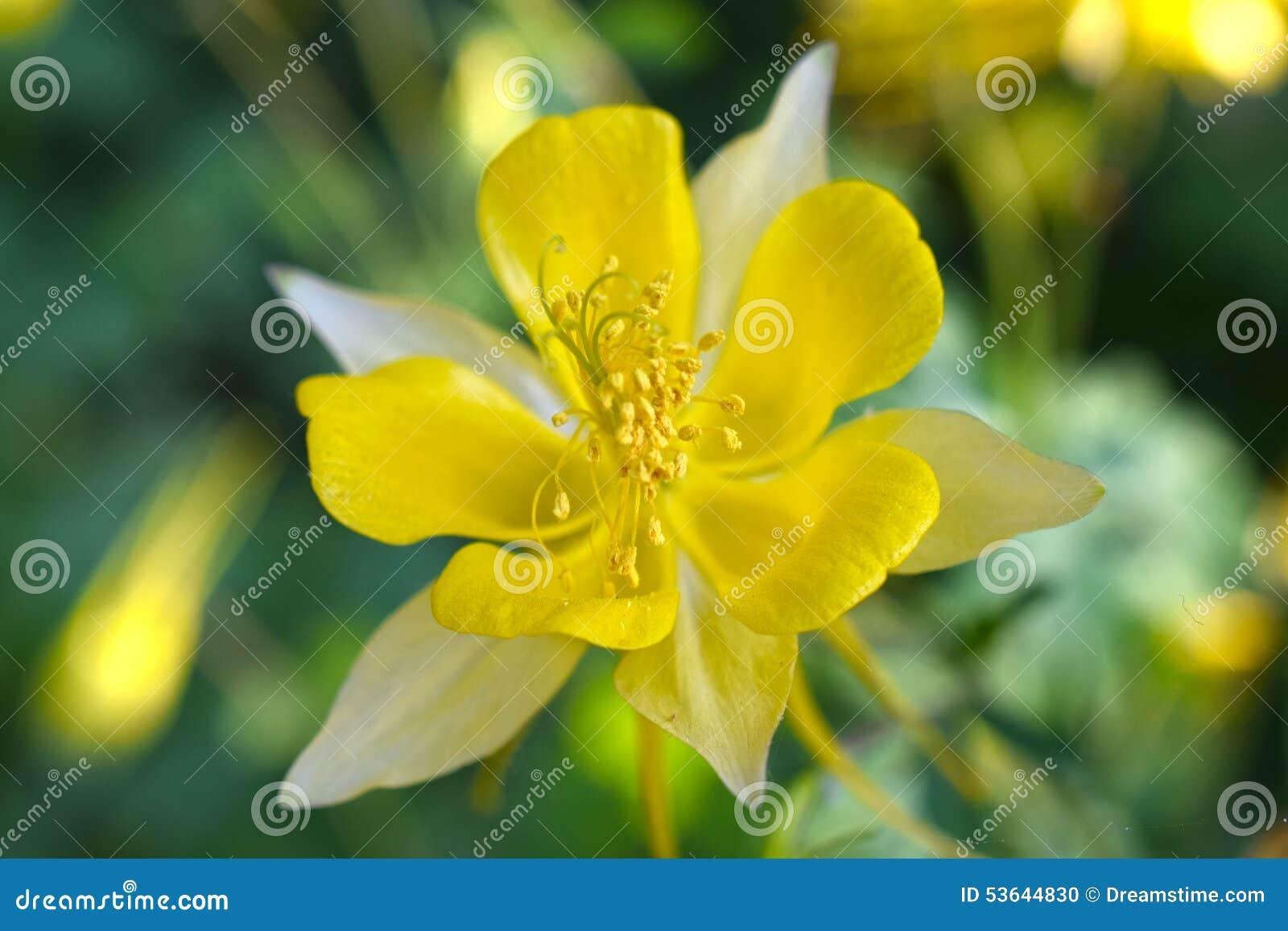 yellow columbine flower stock photo  image, Beautiful flower