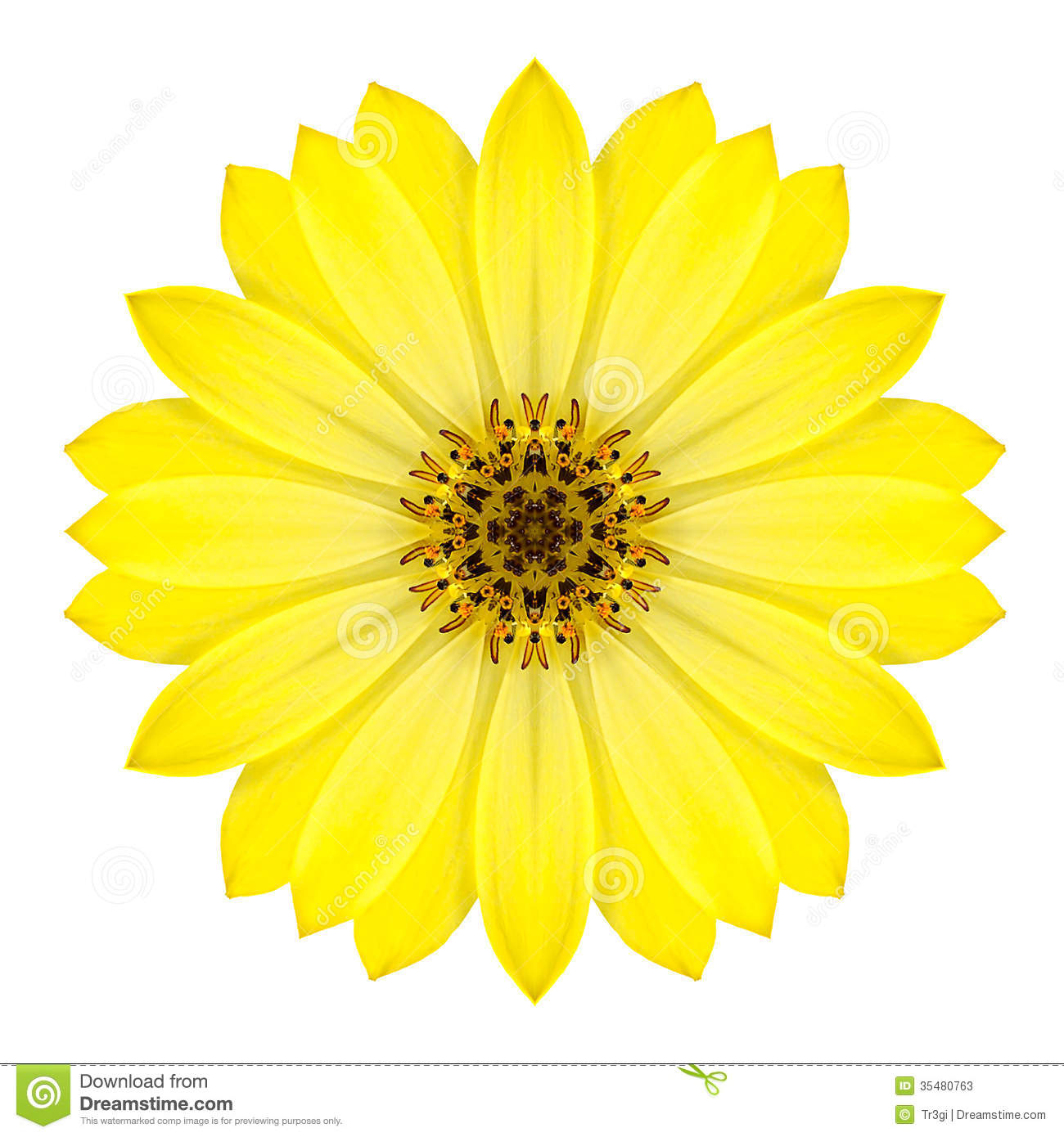 Yellow Concentric Daisy Flower Isolated On White Mandala Design