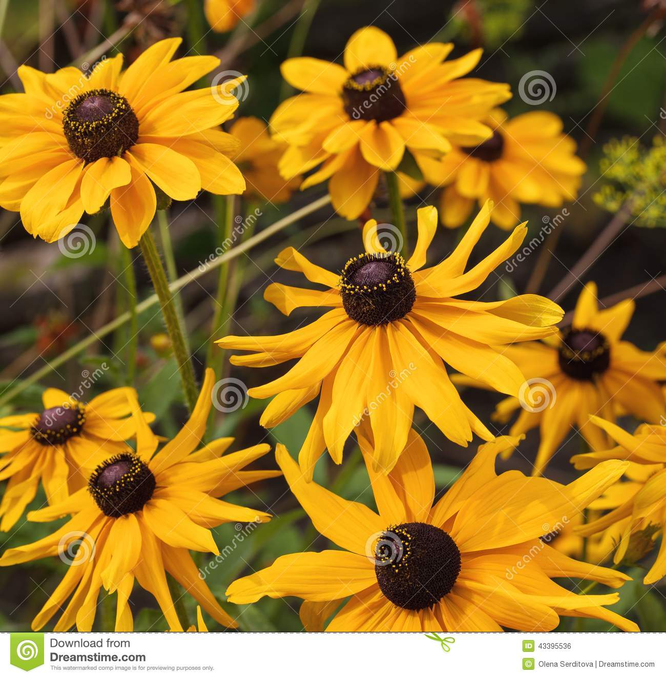 Yellow Cone Flowers On Blurred Background Stock Photo Image Of