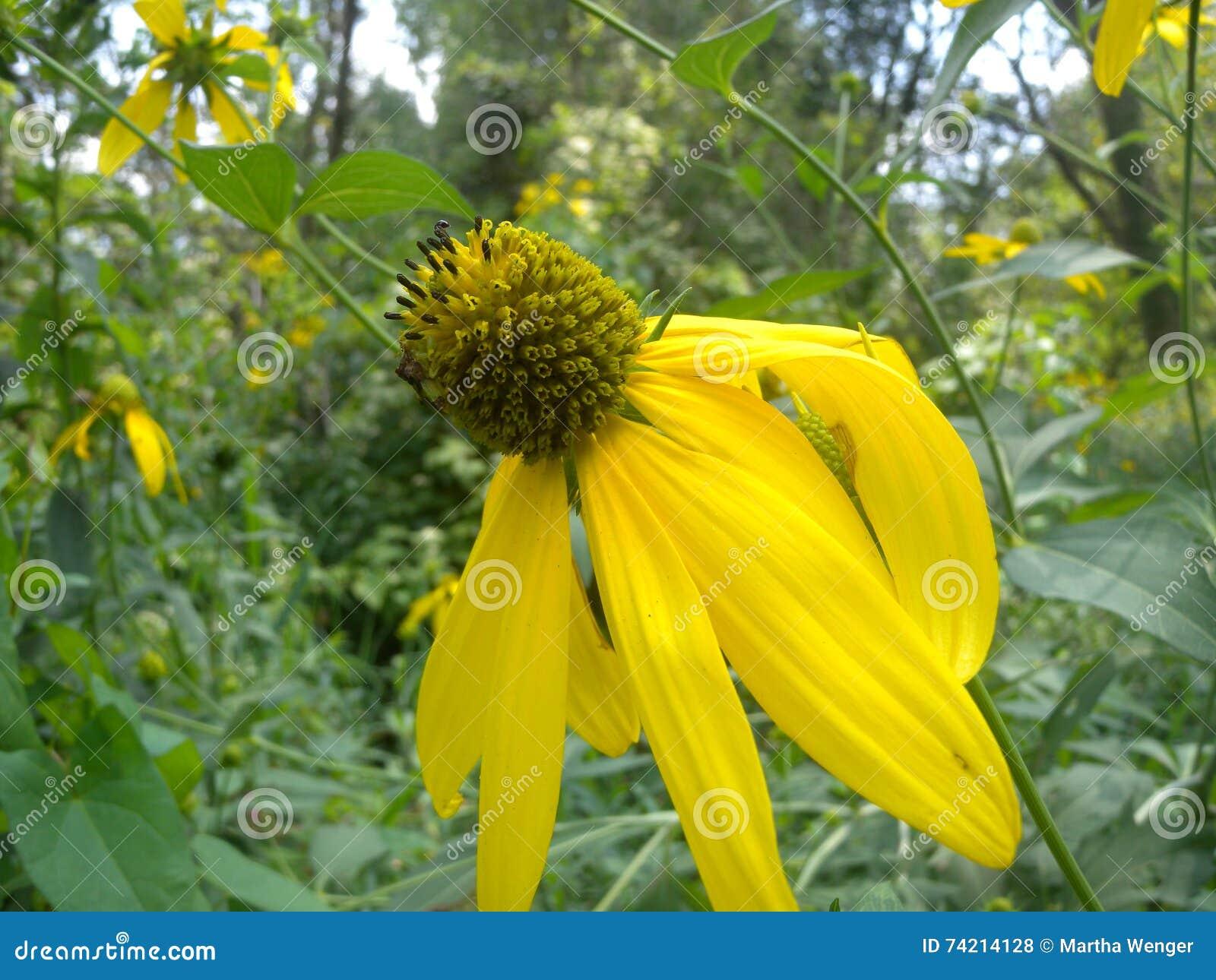Yellow Coneflower Ratibida Pinnata Stock Photo Image Of