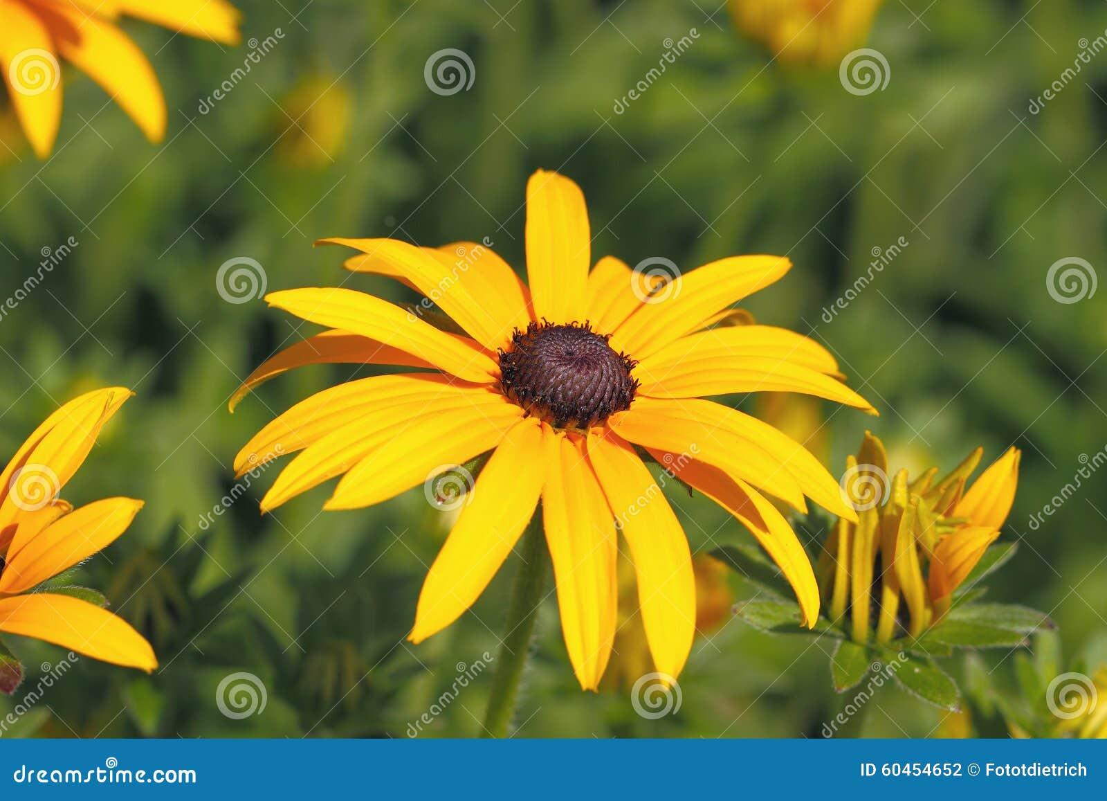 Yellow Cornflower Echinacea Stock Photo Image Of Background