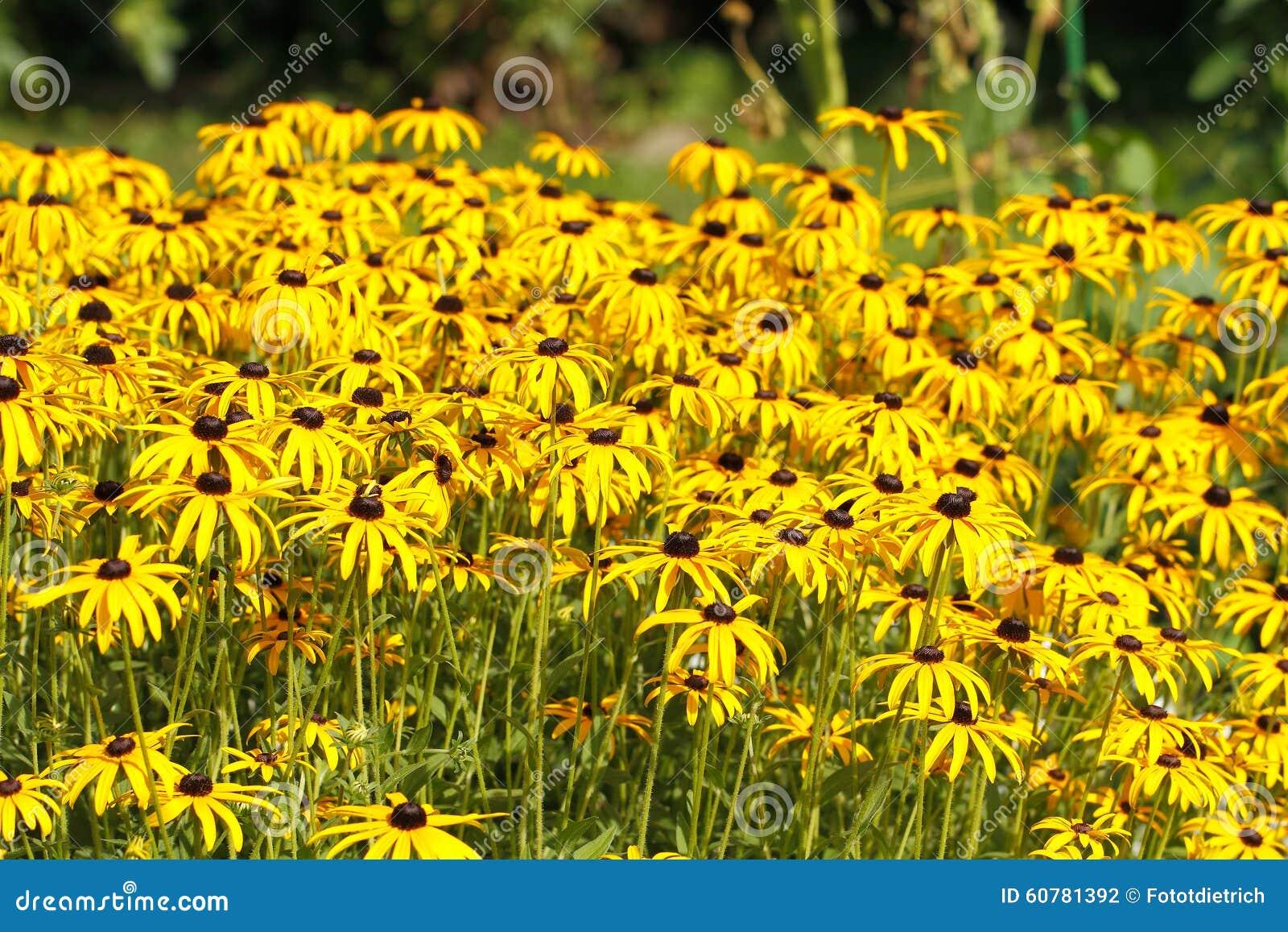Yellow Cornflower Echinacea Stock Photo Image Of Cornflower