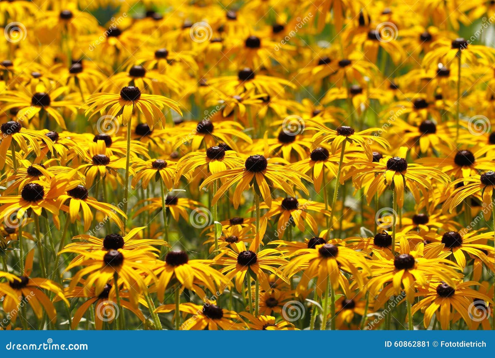 Yellow Cornflower Echinacea Stock Image Image Of Beauty