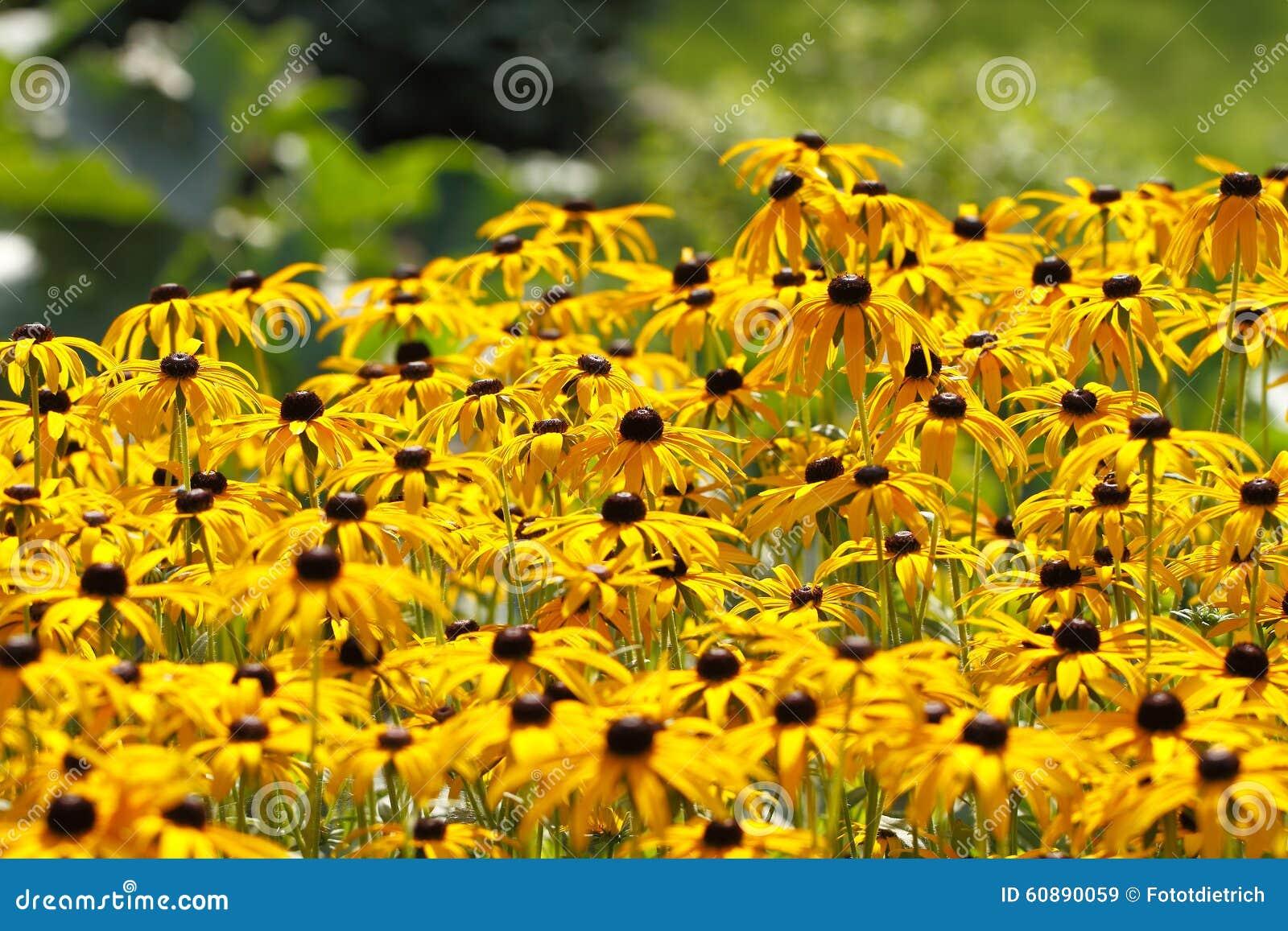 Yellow Cornflower Echinacea Stock Image Image Of Outdoors
