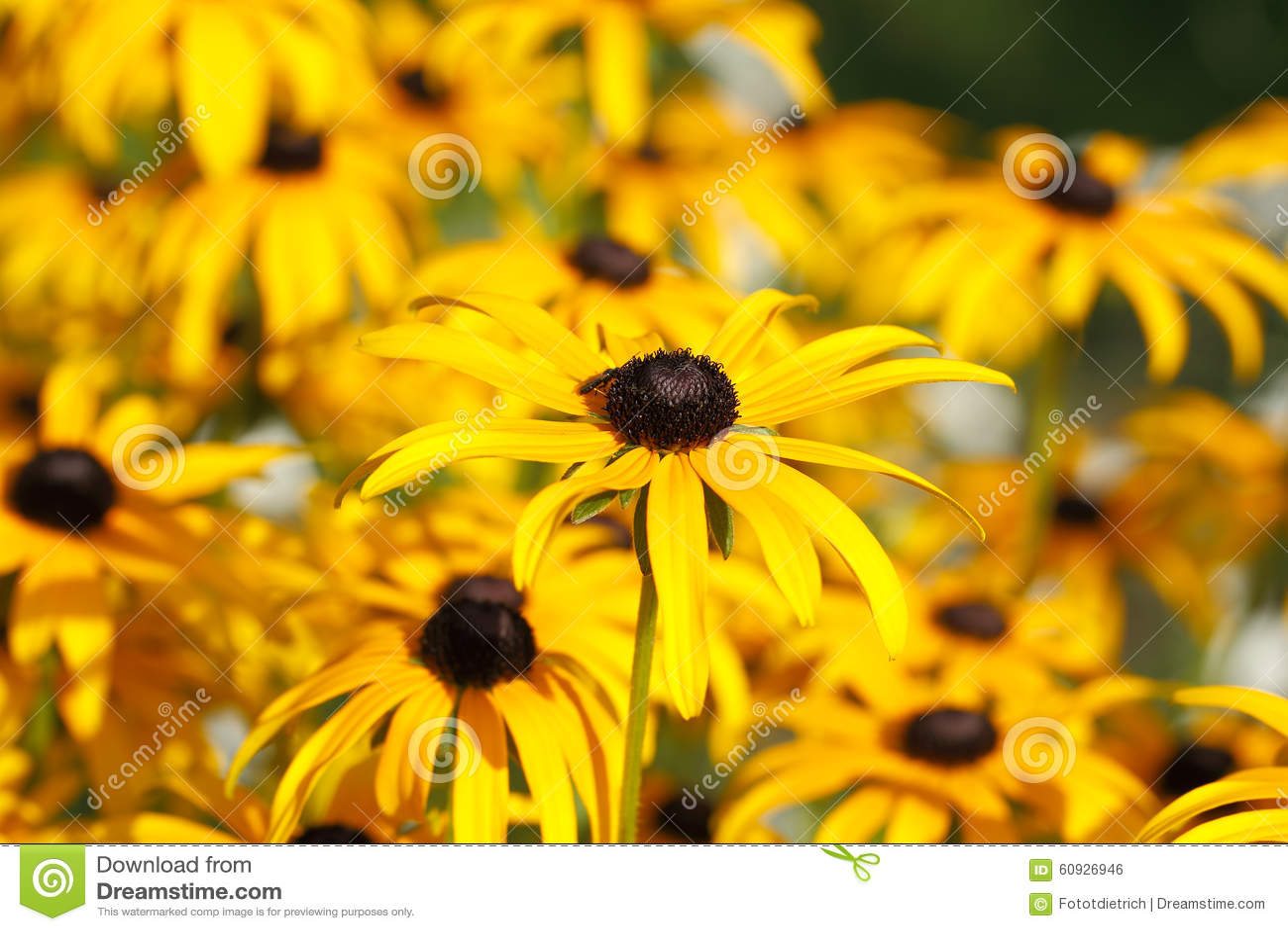 Yellow Cornflower Echinacea Stock Photo Image Of Detail Beauty