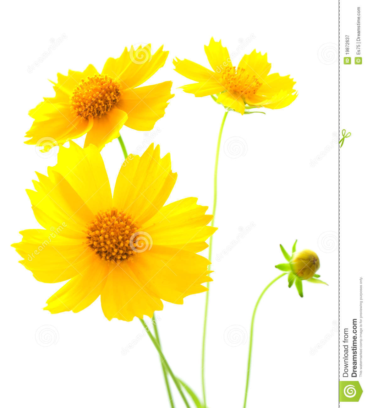 Yellow cosmos flower stock image image of spring blossoming 19872637 download comp mightylinksfo