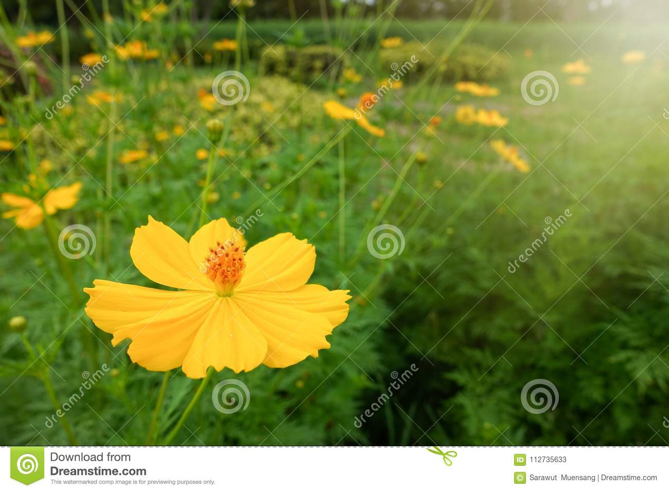 Yellow cosmos flower stock image image of cleaning 112735633 yellow cosmos flower mightylinksfo