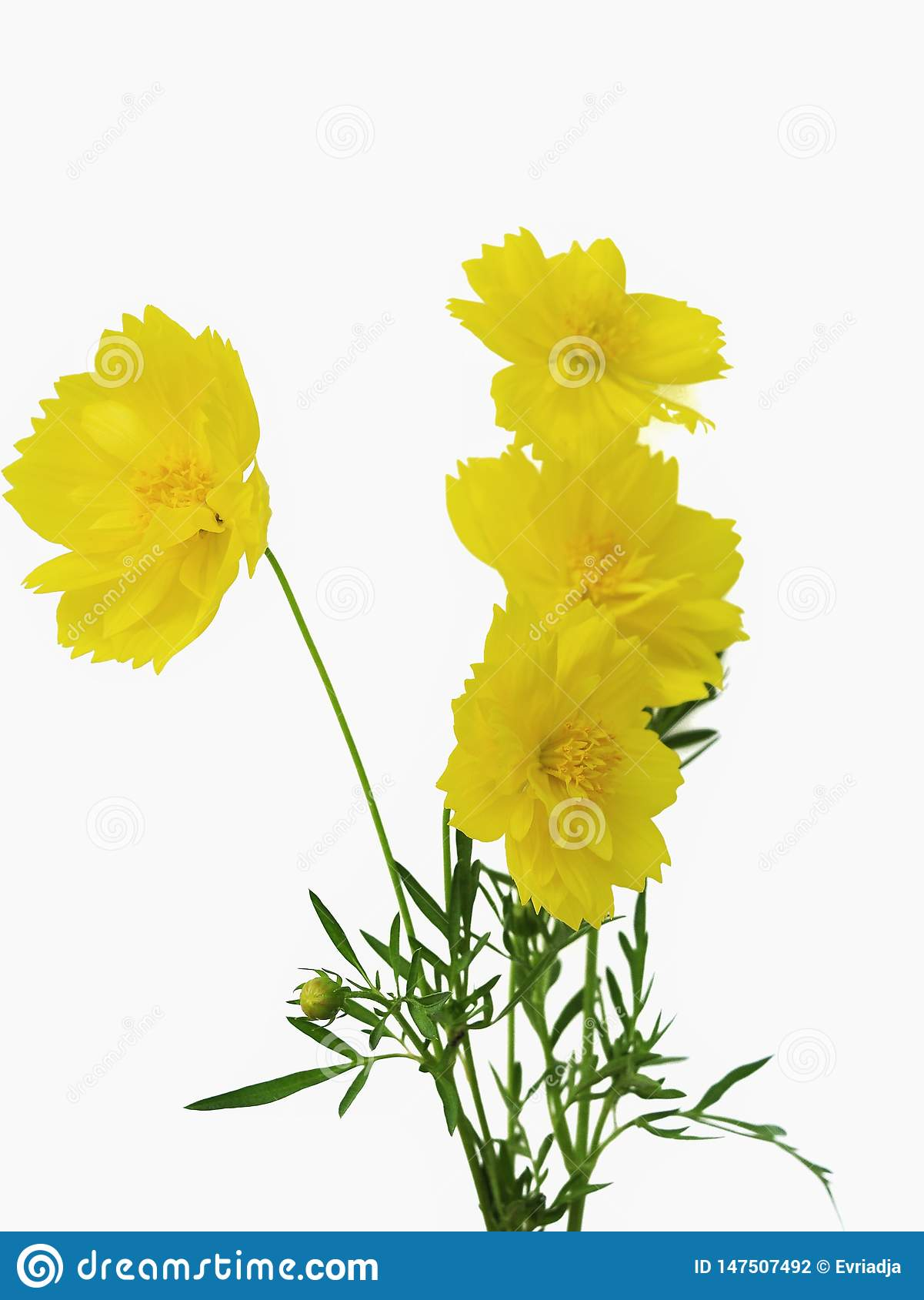 Yellow cosmos flowers isolated on white background