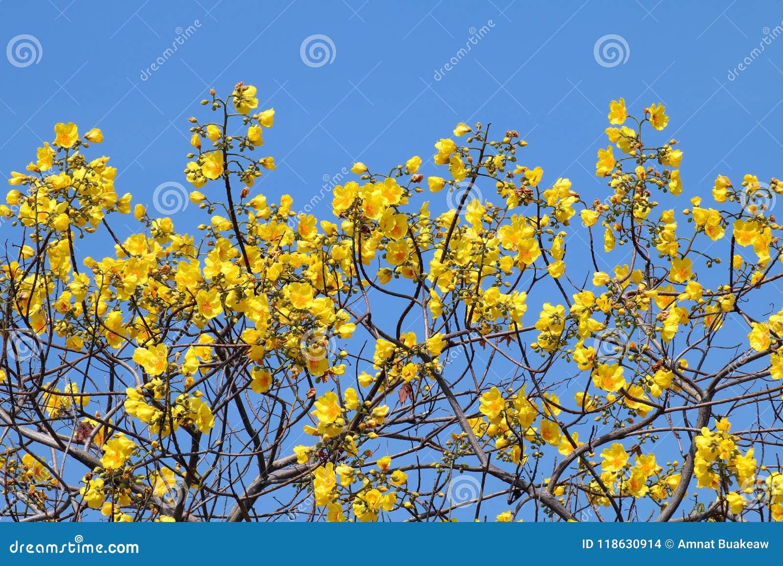 Yellow Cotton Flower Tree Flowers On Sky Blue Background Scientific