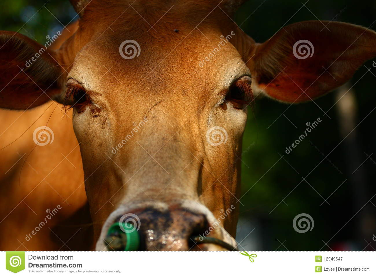 yellow cow royalty free stock photography image 12949547