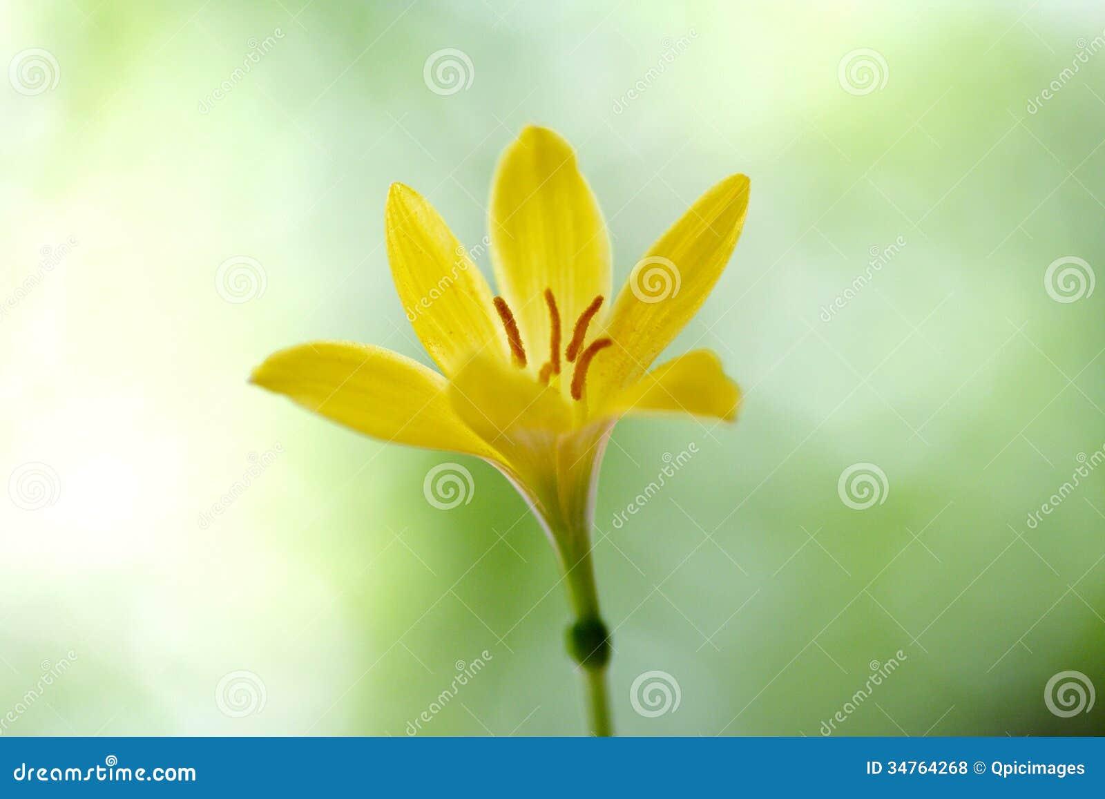 Yellow Crocus Flower Stock Photo Image Of Closeup Shallow 34764268