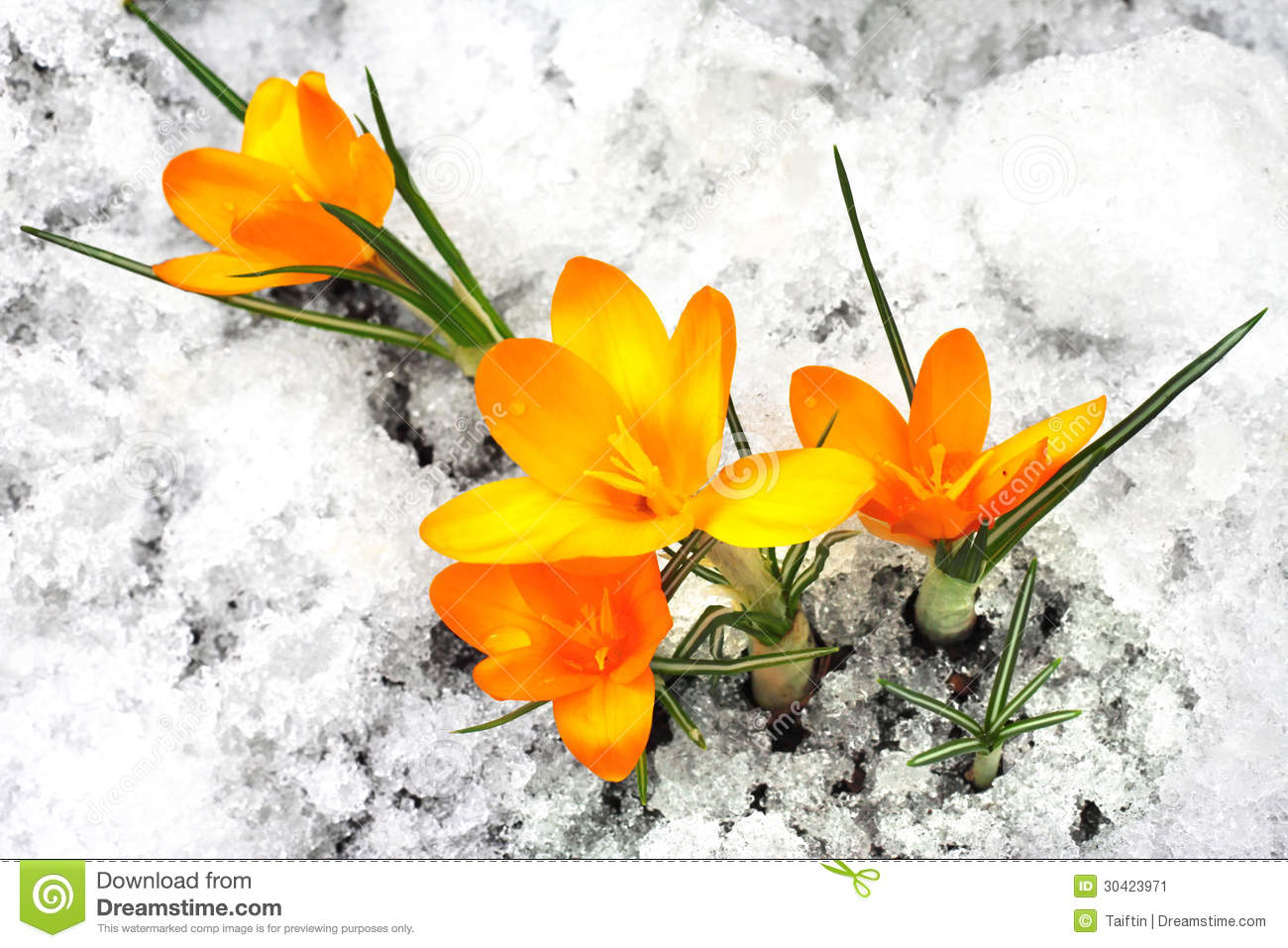 f942eeb3905b Yellow crocus flowers stock image. Image of crocus