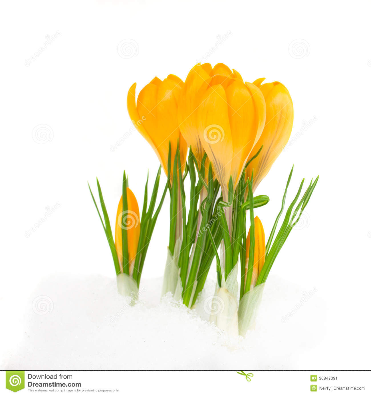 Yellow Crocus Flowers Stock Image Image Of Plant Floral 36847091