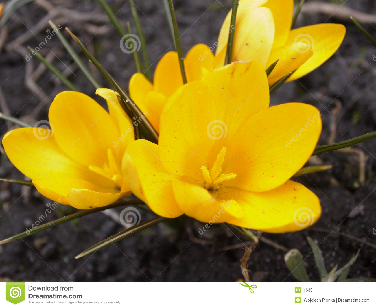 Yellow crocus - Spring is coming #4